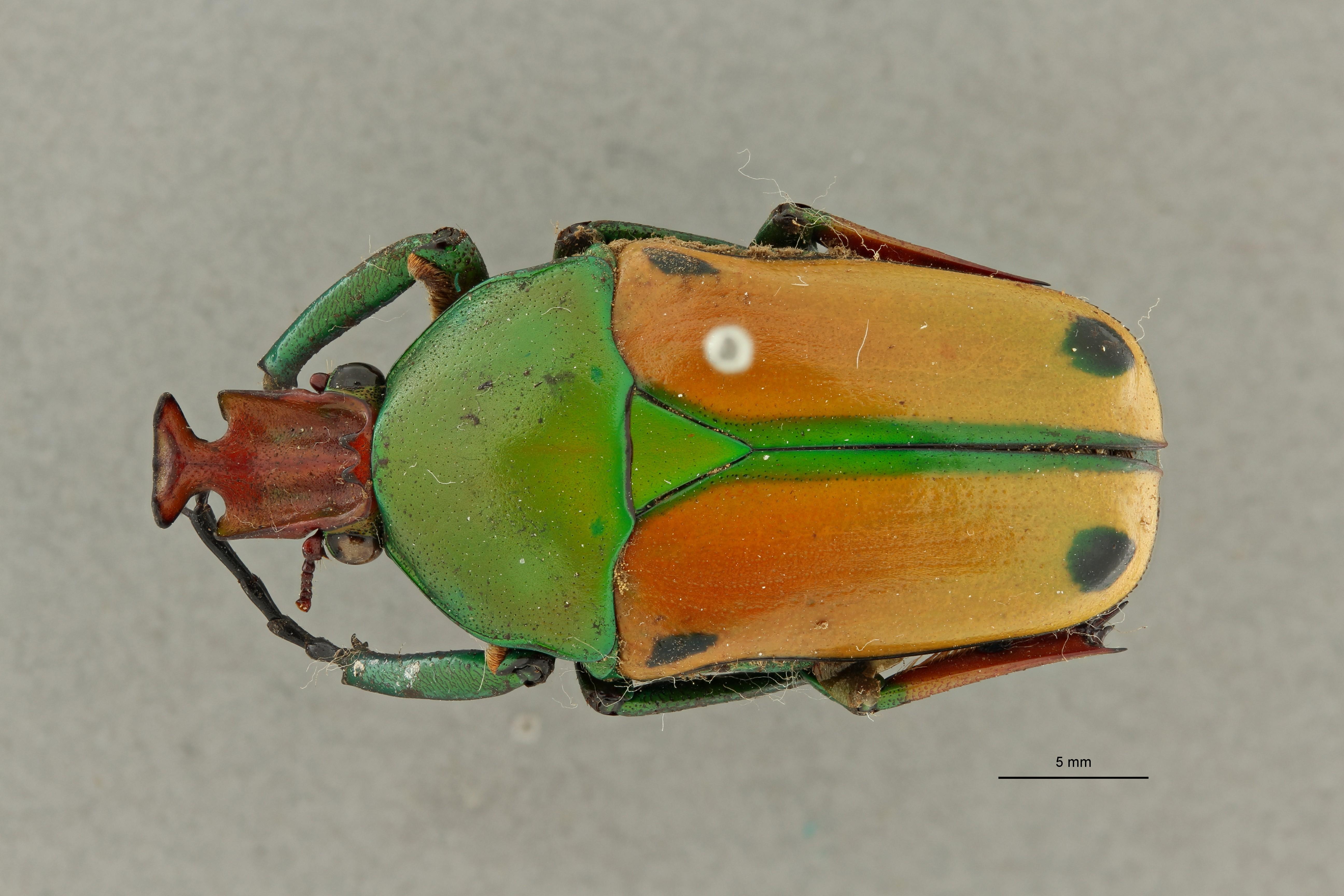 Coelorrhina hornimani elgonensis pt 2 D ZS PMax Scaled.jpeg