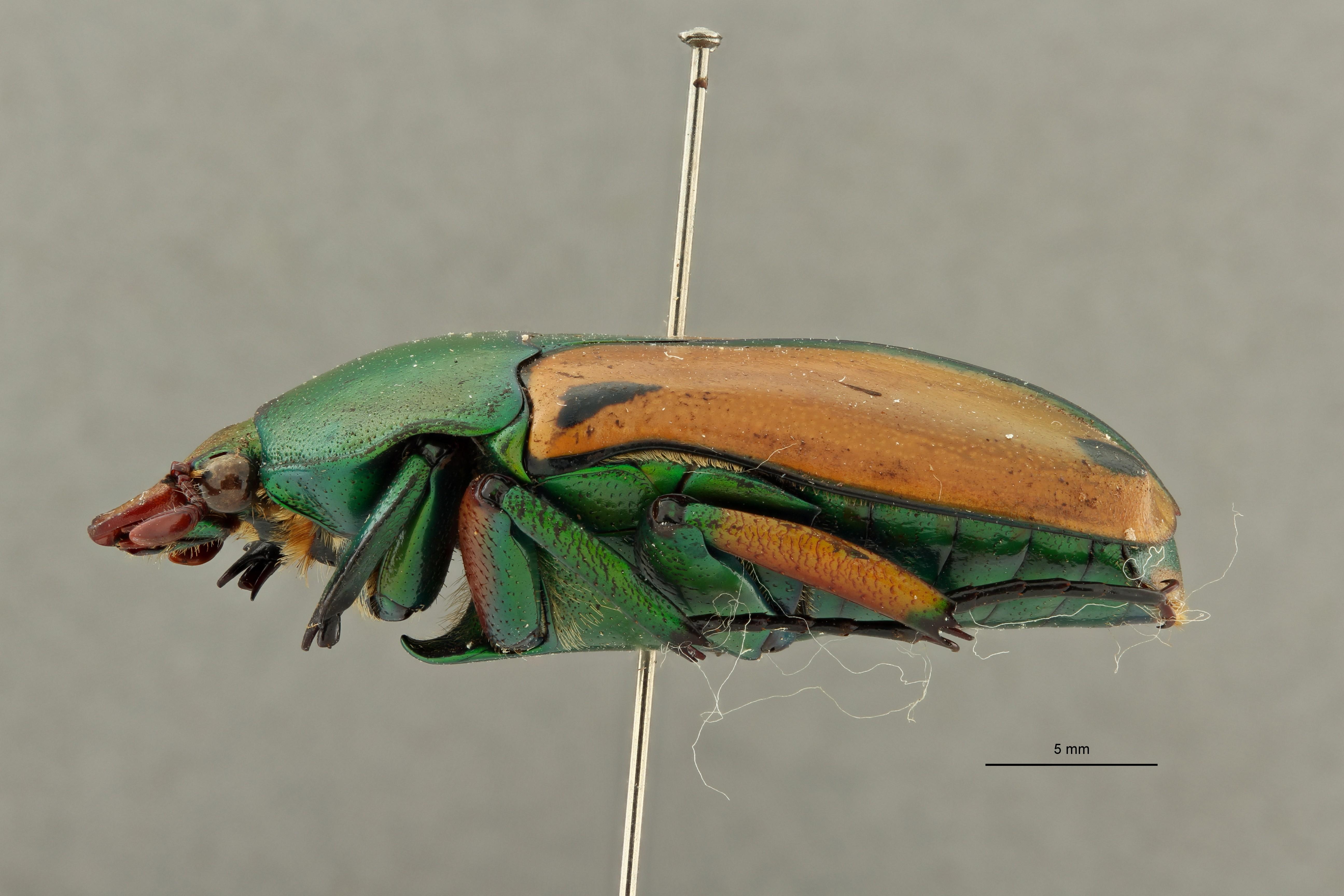 Coelorrhina hornimani elgonensis pt 3 L ZS PMax Scaled.jpeg