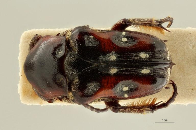 Cymophorus flavonotatus collarti pt D ZS PMax Scaled.jpeg
