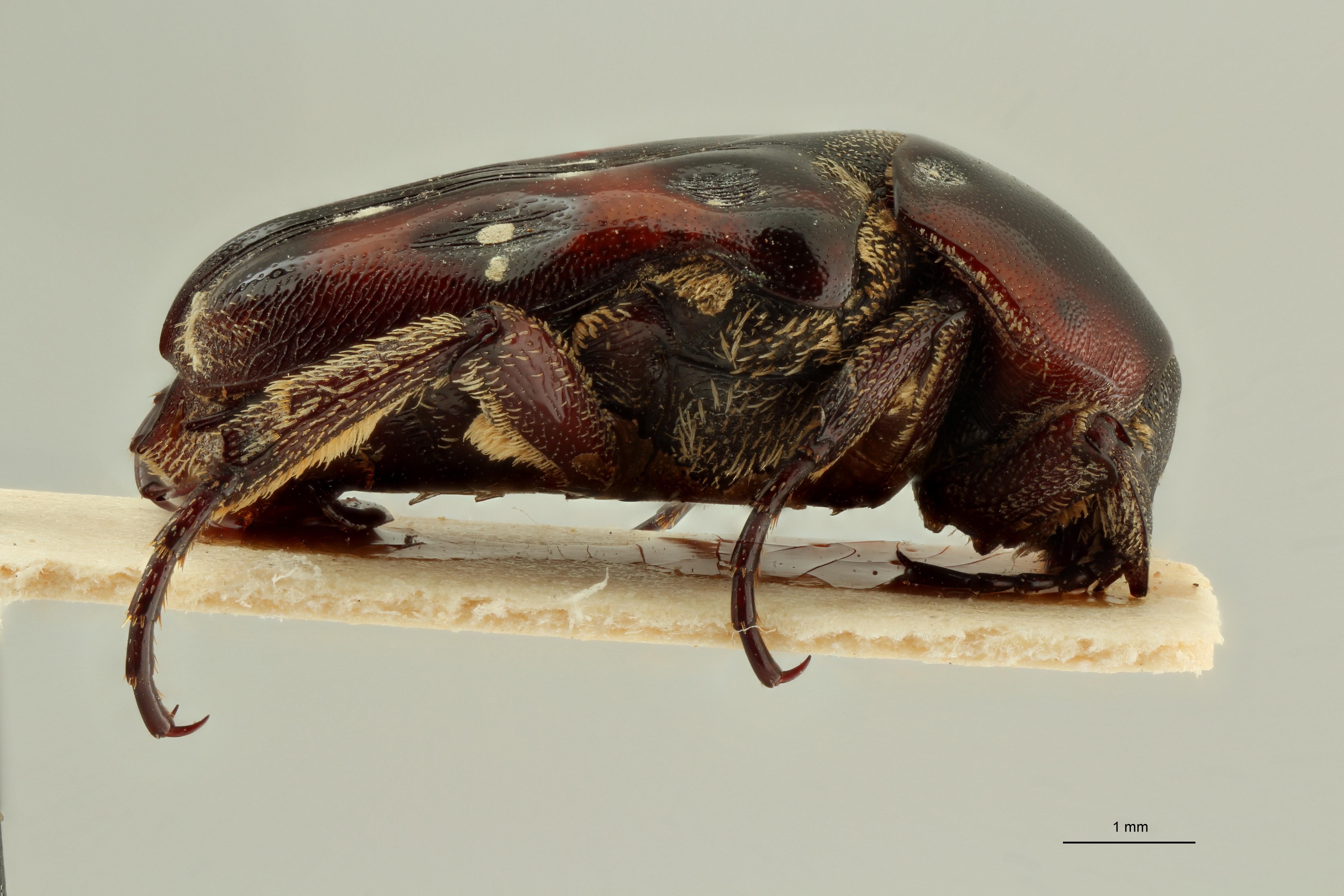 Cymophorus flavonotatus collarti pt L ZS PMax Scaled.jpeg