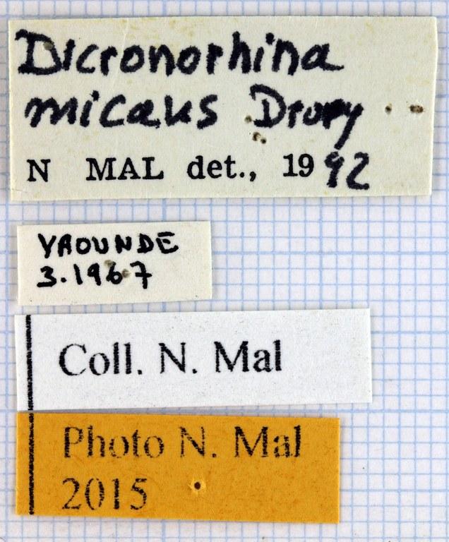 Dicronorhina micans micans lab.jpg