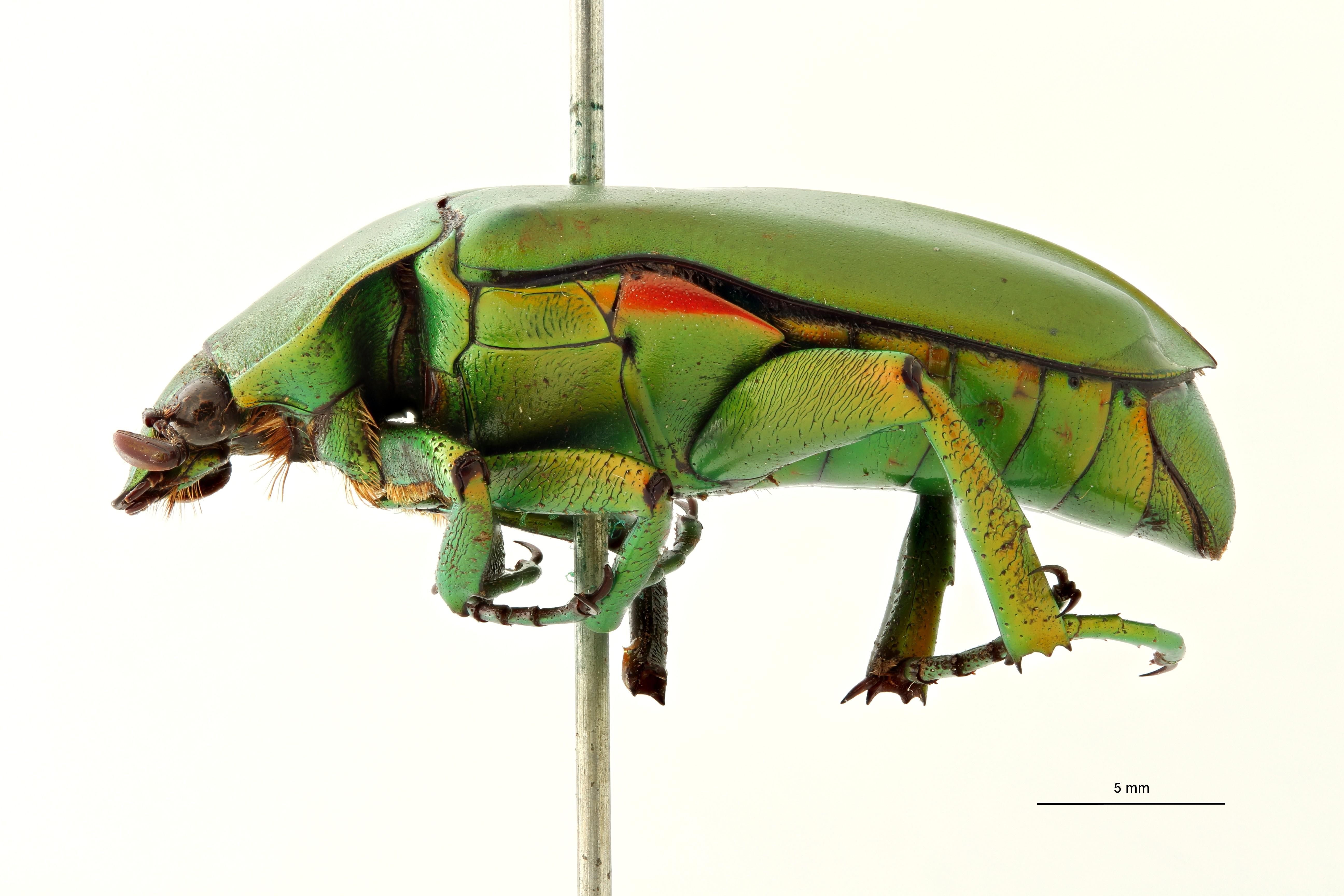 Caelorrhina gracilipes lt L ZS PMax Scaled.jpeg