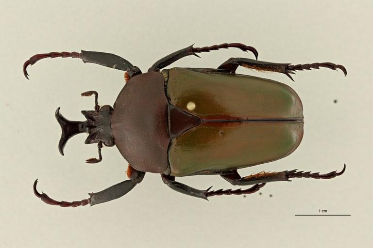 Eudicella (Eudicella) bouyeri ht D ZS PMax Scaled.jpeg
