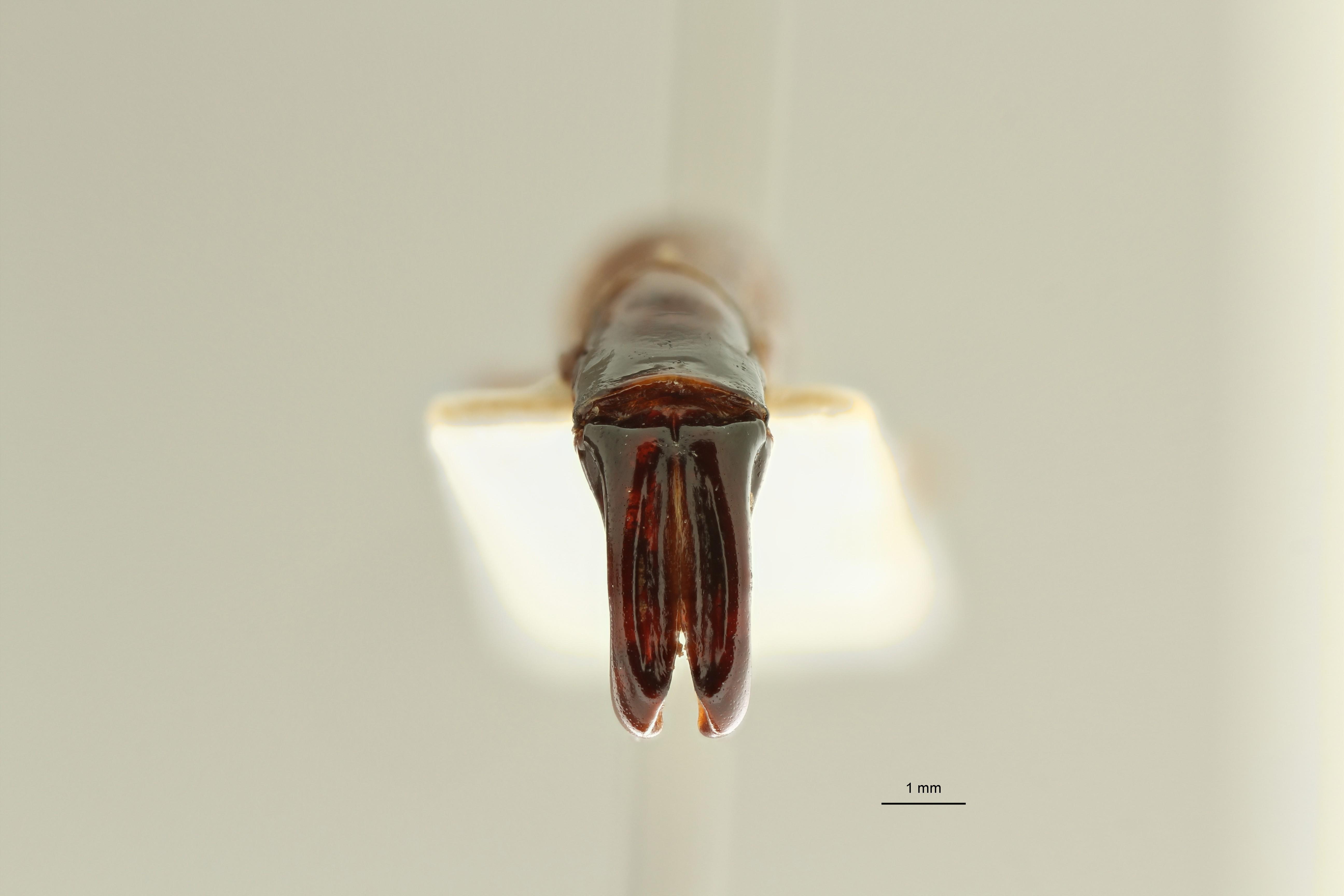 Eudicella (Eudicella) bouyeri ht DG ZS PMax Scaled.jpeg