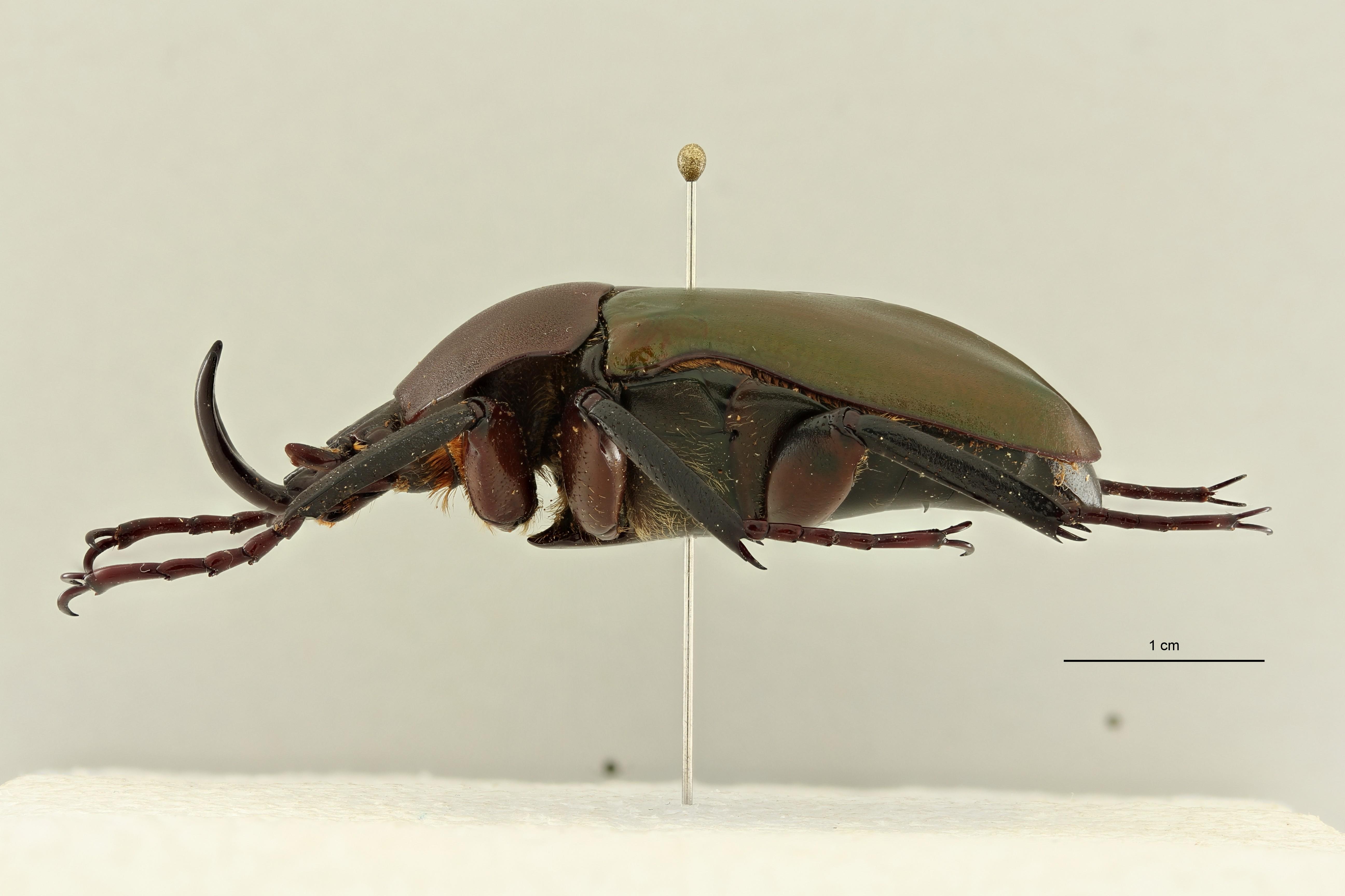 Eudicella (Eudicella) bouyeri ht L ZS PMax Scaled.jpeg