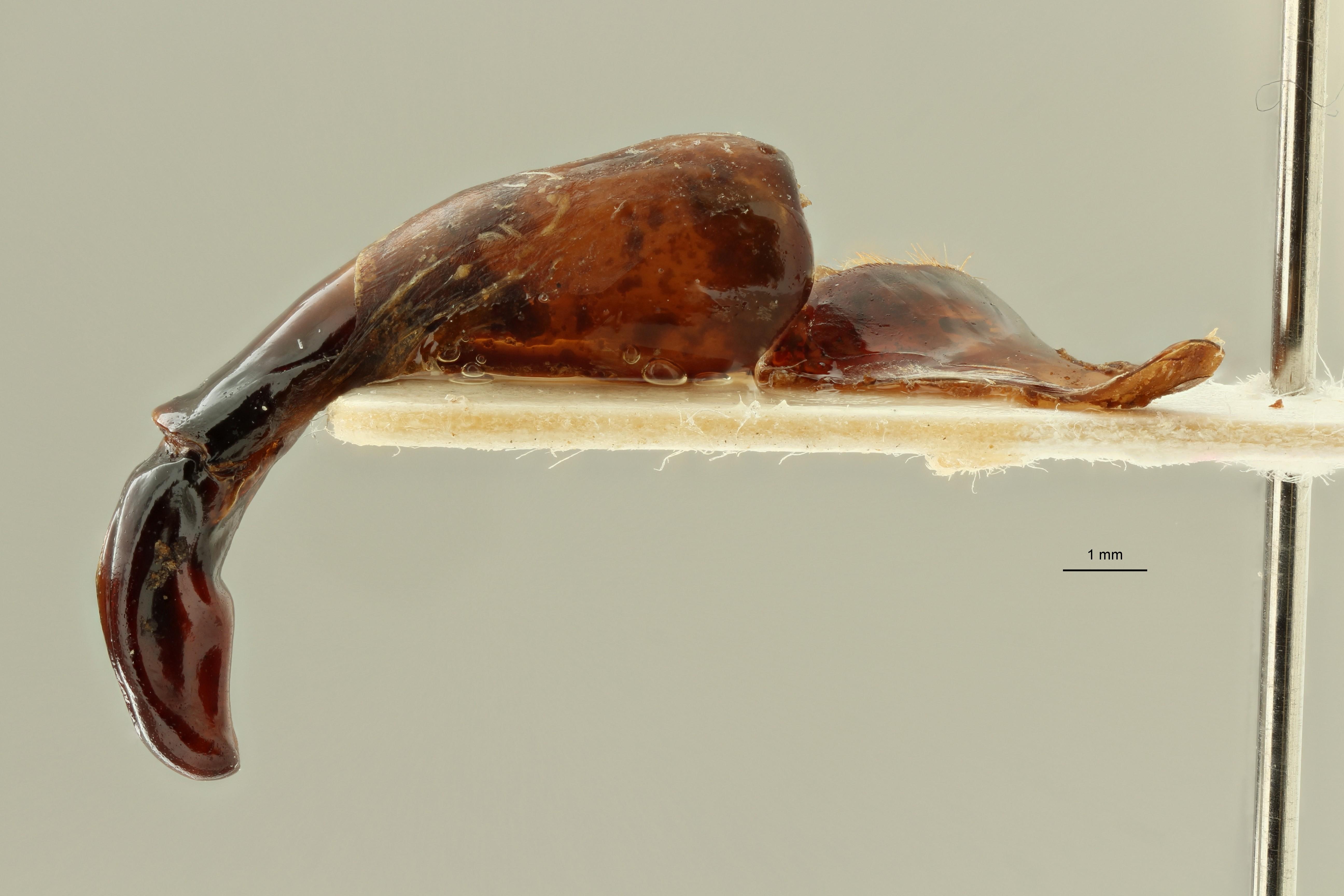 Eudicella (Eudicella) bouyeri ht LG ZS PMax Scaled.jpeg
