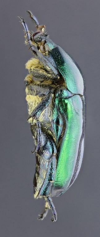 Eupotosia affinis affinis 28679zs91.jpg