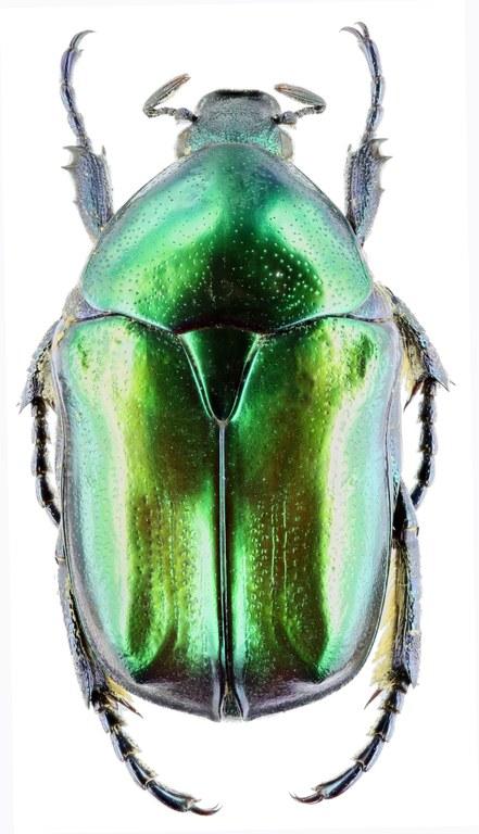 Eupotosia affinis affinis 28692zs03.jpg