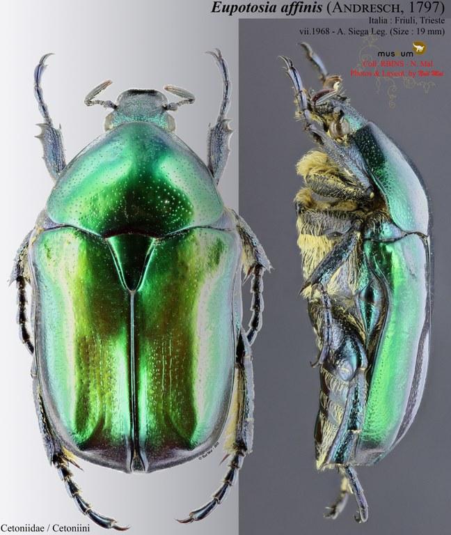 Eupotosia affinis affinis.jpg
