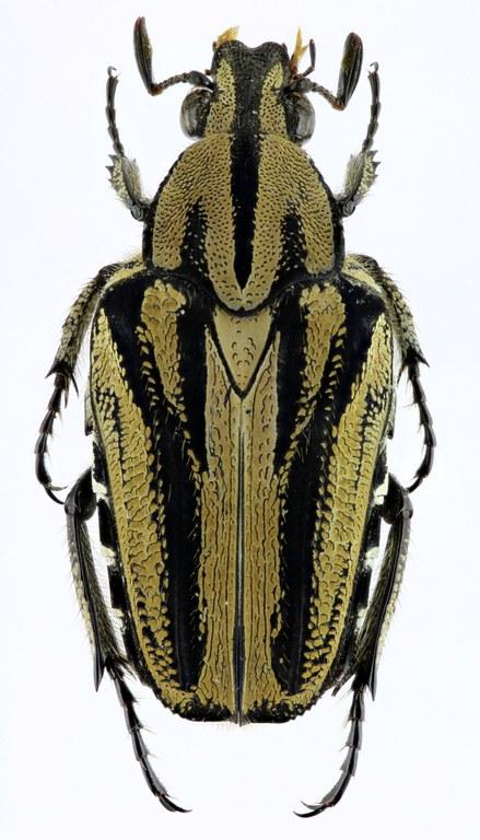 Euselates dissimilis 21898zs13.jpg