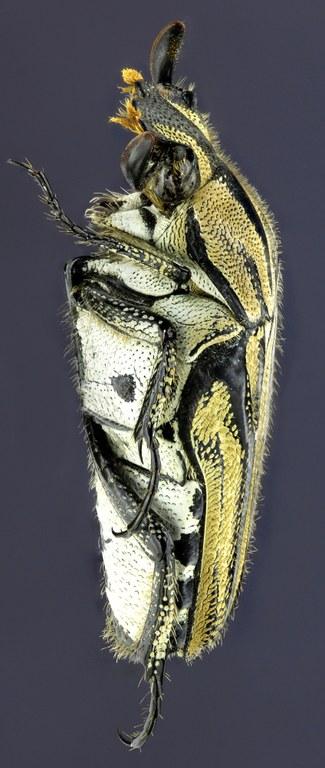 Euselates dissimilis 21928zs63.jpg