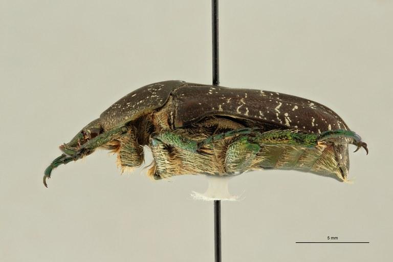 Fairmairiana delavayi delavayi pt L ZS PMax Scaled.jpeg