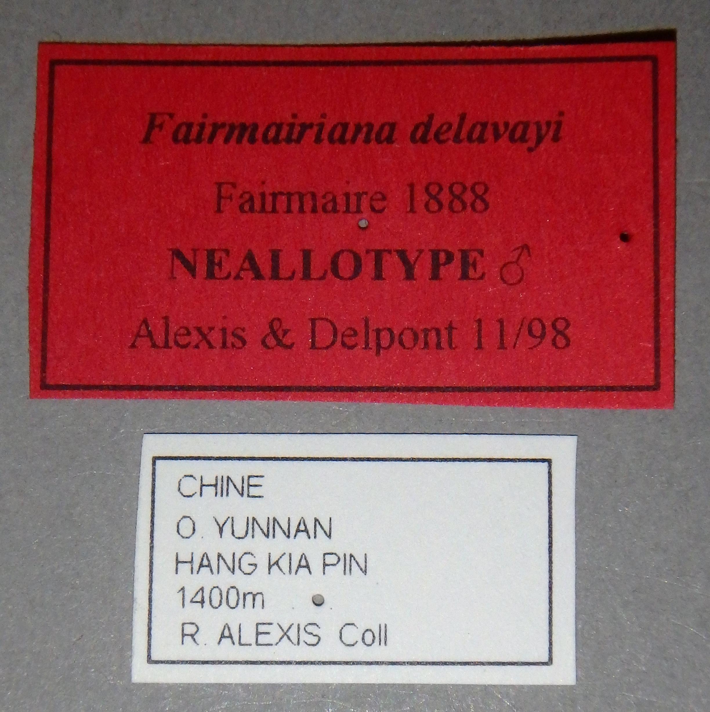 Fairmairiana delavayi nat Lb.JPG