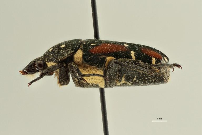 Glycyphana (Glycyphaniola) delponti pt L ZS PMax Scaled.jpeg