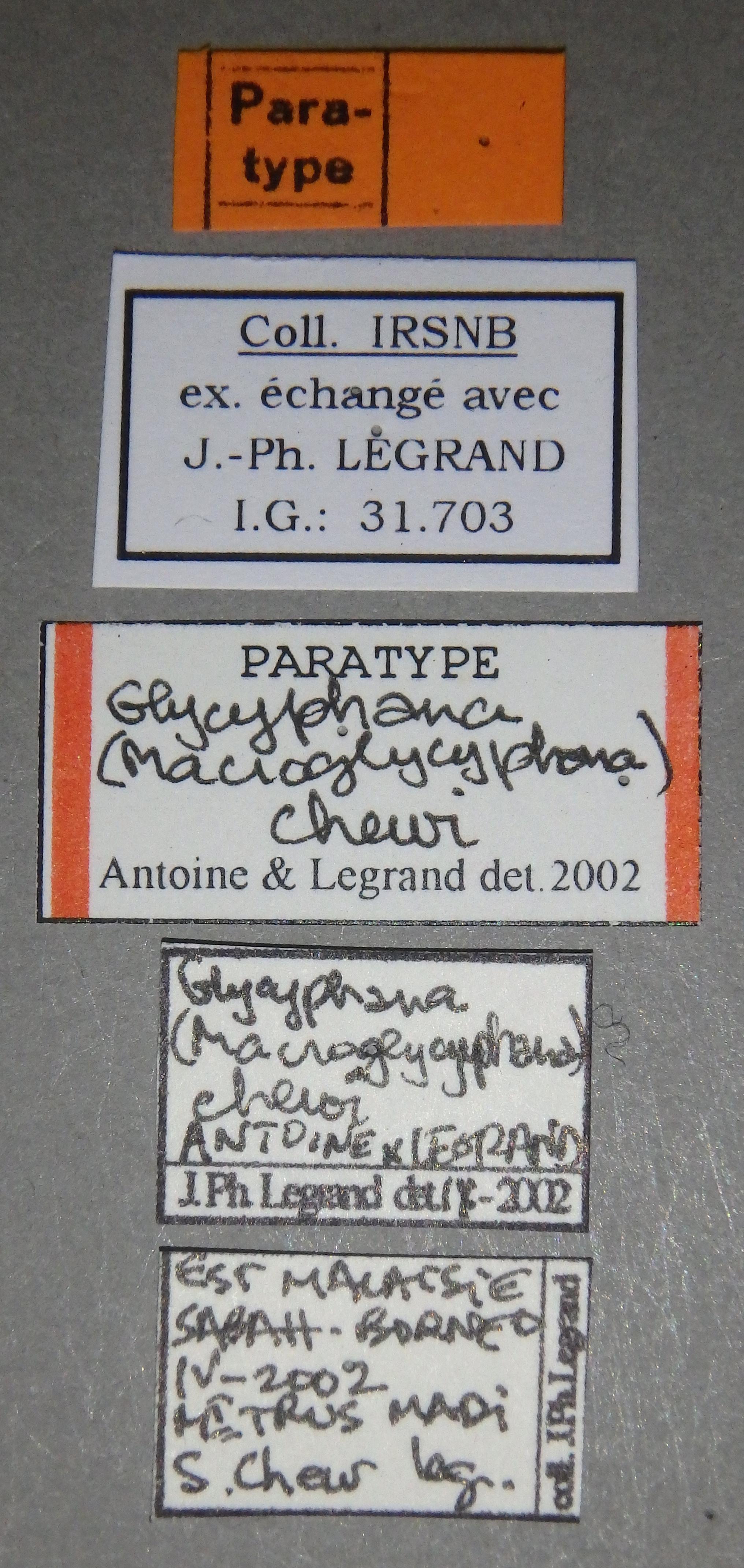 Glycyphana (Macroglycyphana) chewi pt Lb.JPG
