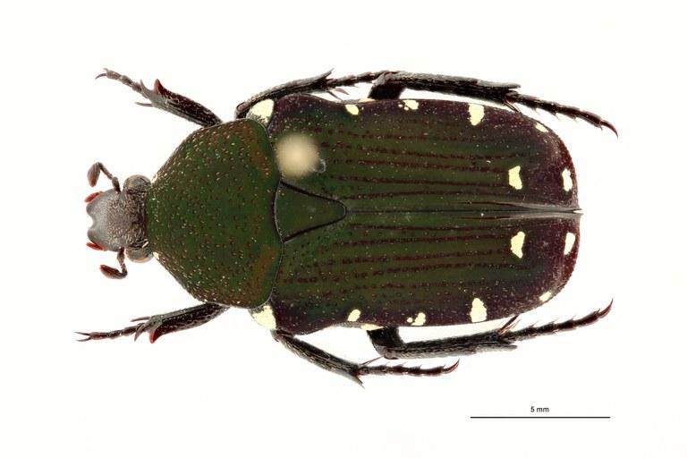 Glycyphana (Macroglycyphana) chewi pt D ZS PMax Scaled.jpeg