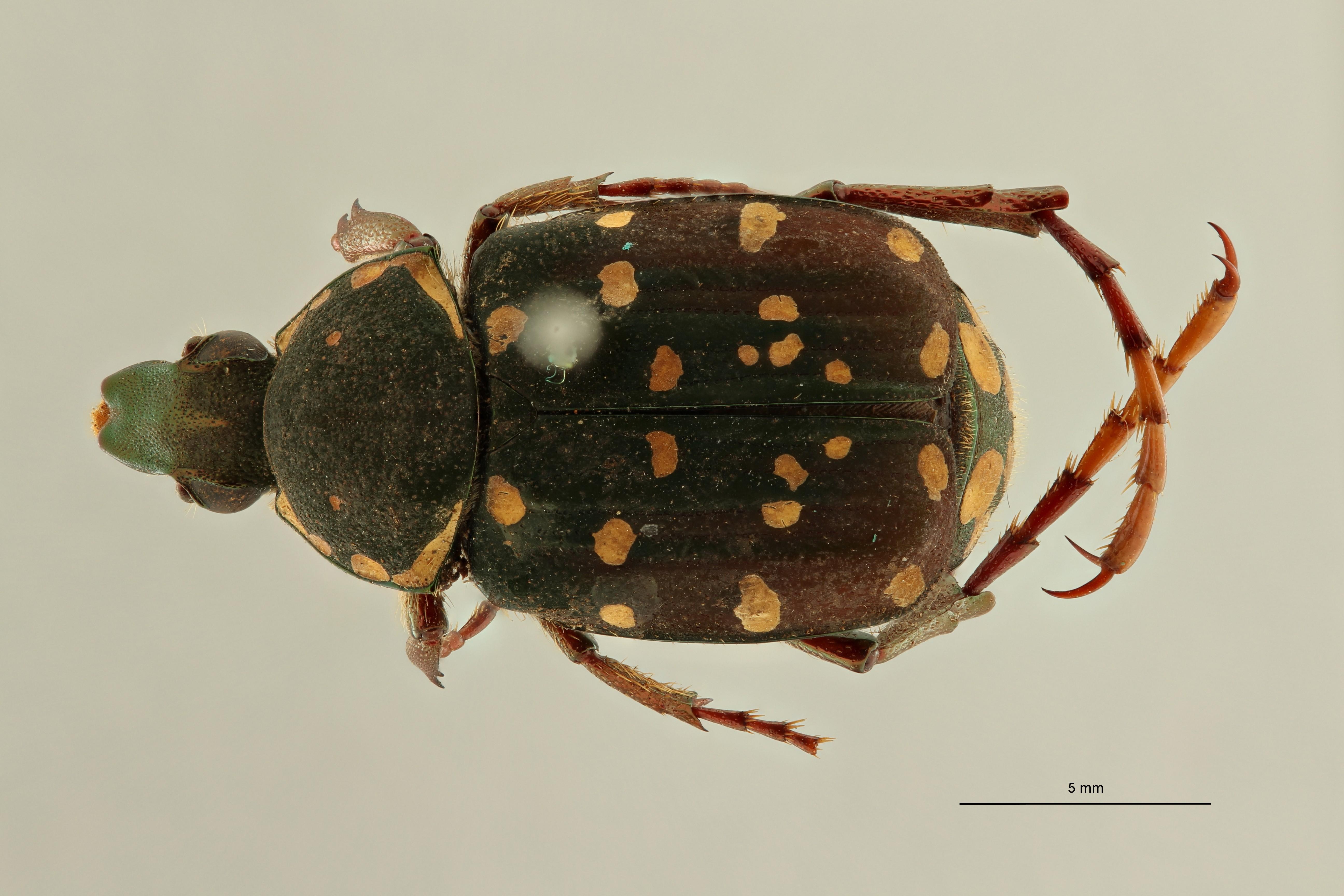Gnorimus flavitarsis pt3 D ZS PMax Scaled.jpeg