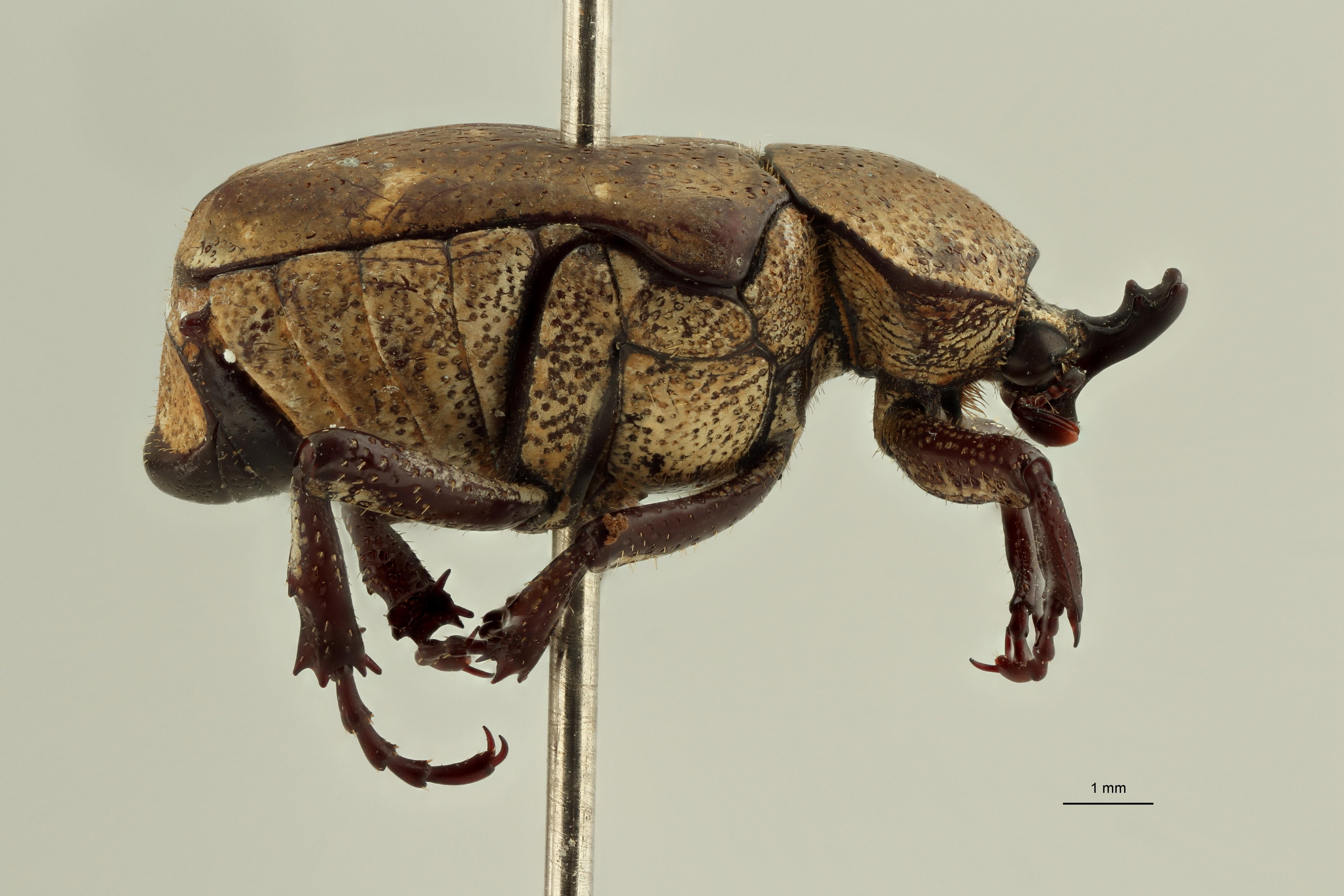 Goliathopsis capreolus pt1 L ZS PMax Scaled.jpeg