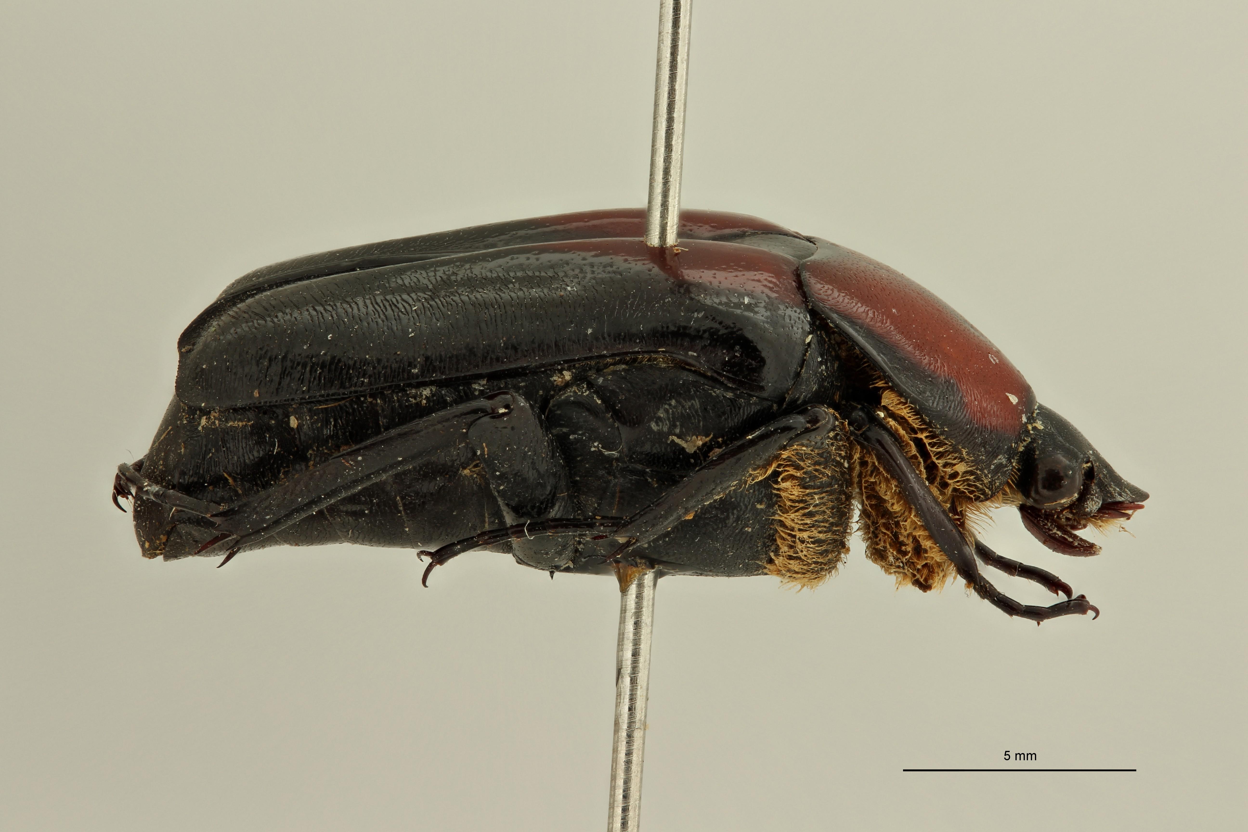 Goniochilus rotundiceps t L ZS PMax Scaled.jpeg