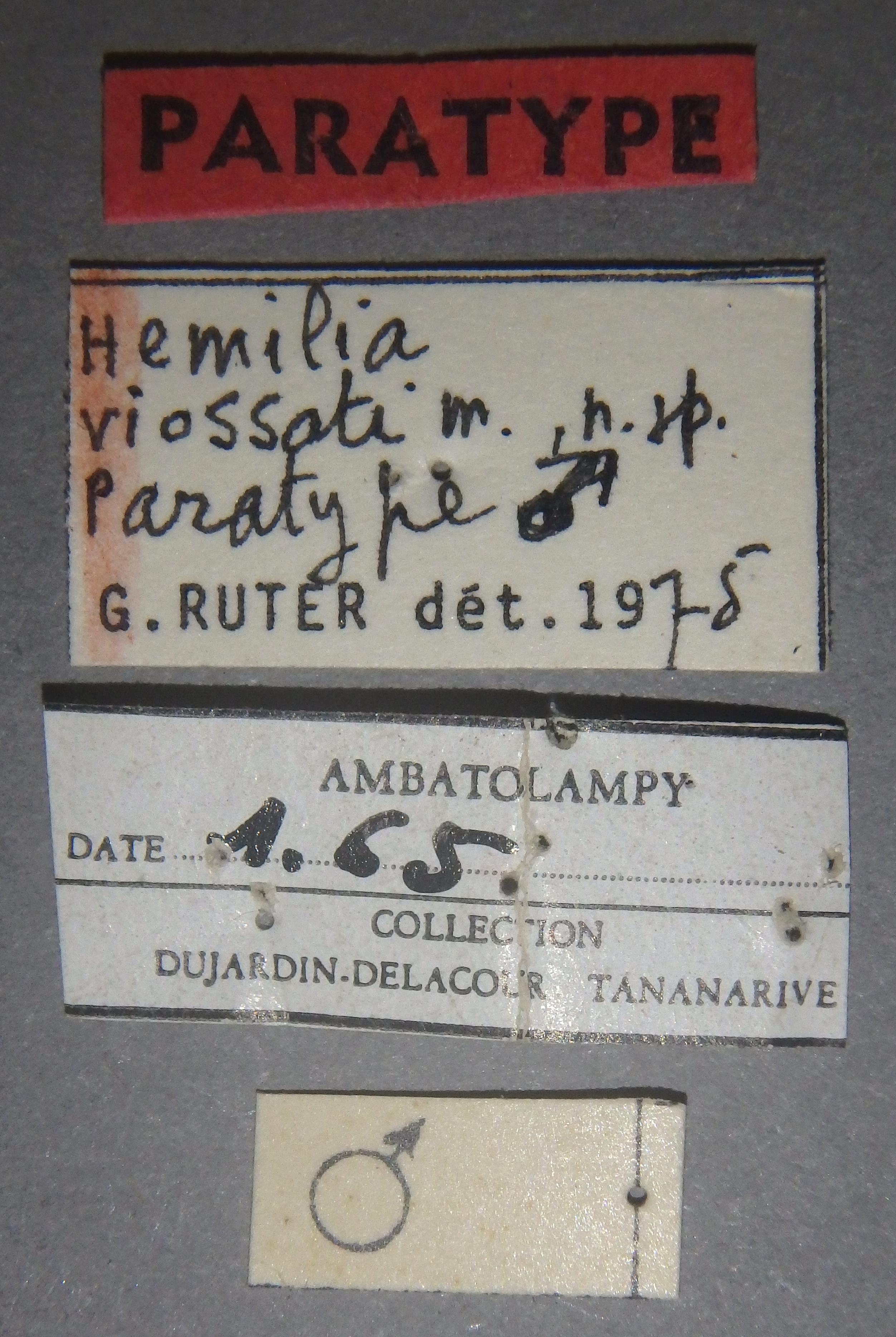 Hemilia viossati pt Lb.JPG