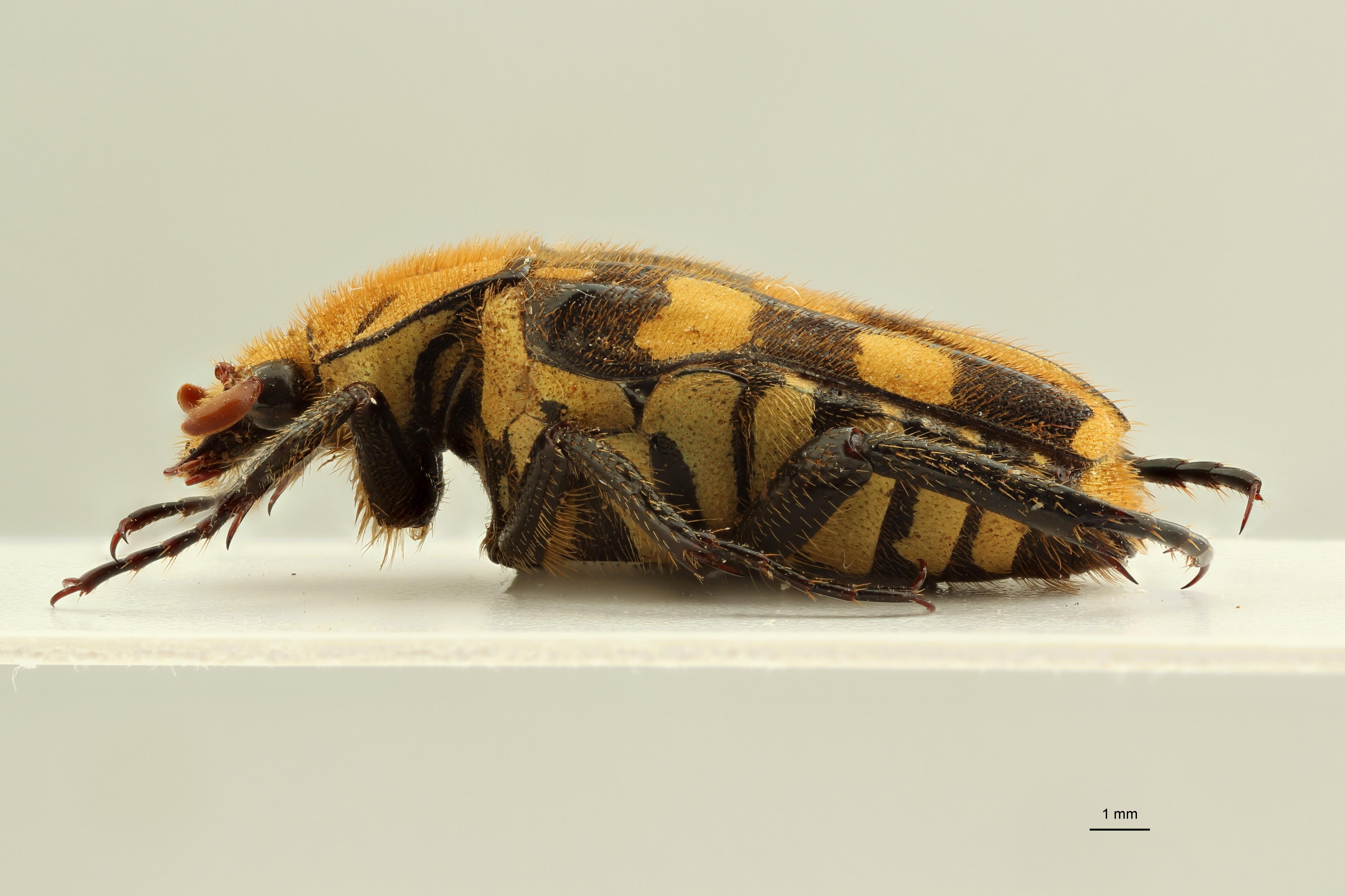 Ixorida (Pseudomecinonota) gueyraudi pt L ZS PMax Scaled.jpeg
