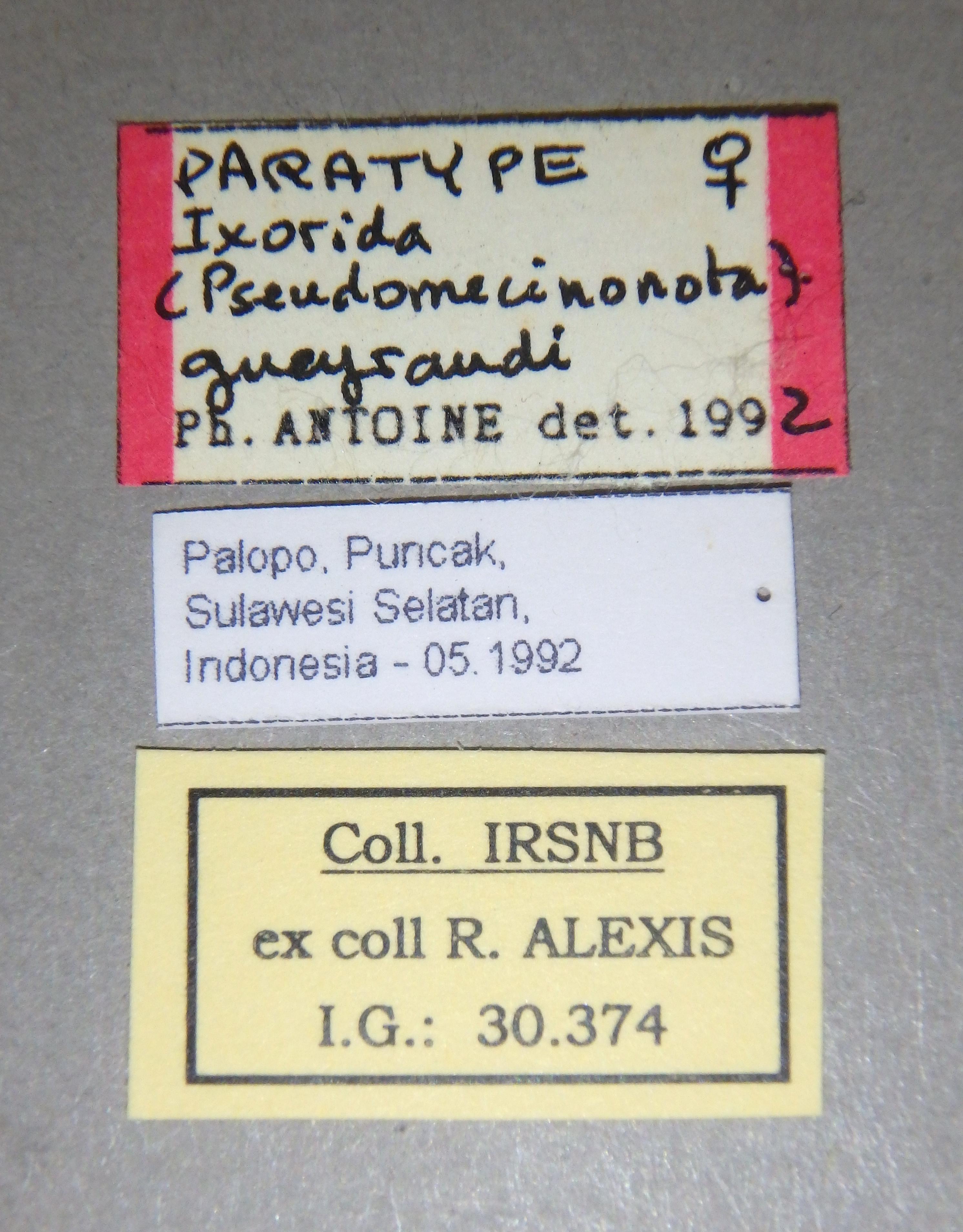Ixorida (Pseudomecinonota) gueyraudi pt Lb.JPG