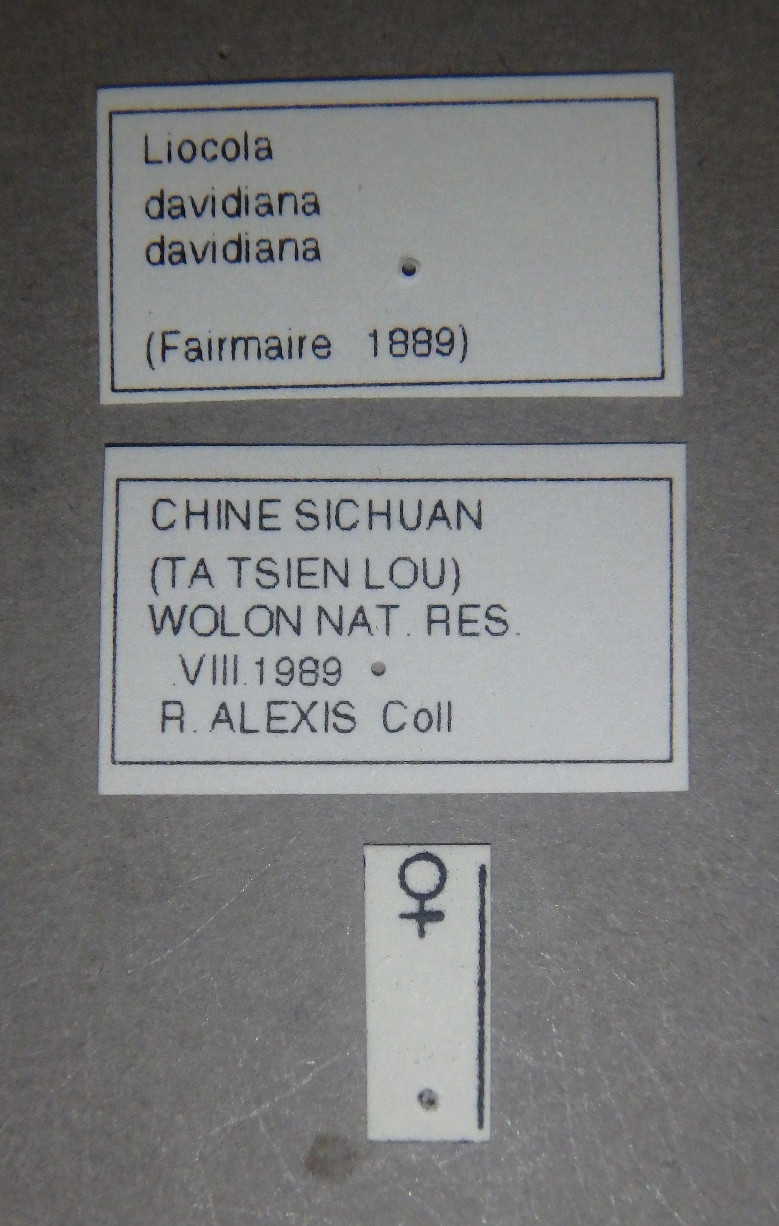 Liocola davidiana davidiana pt2 Lb.JPG