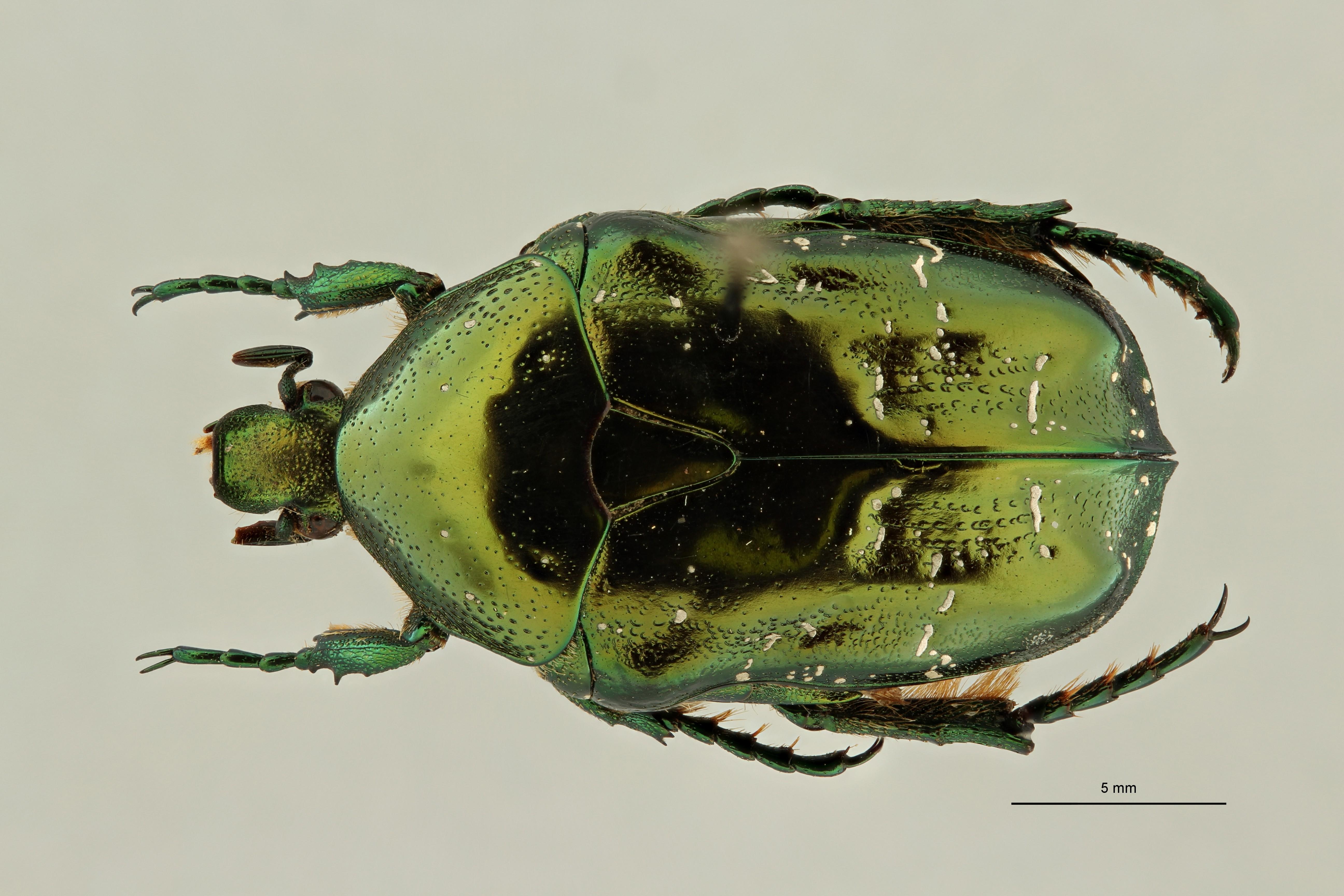 Liocola davidiana davidiana pt1 D ZS PMax Scaled.jpeg