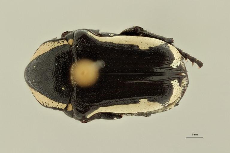 Mausoleopsis albomarginata pt D ZS PMax Scaled.jpeg
