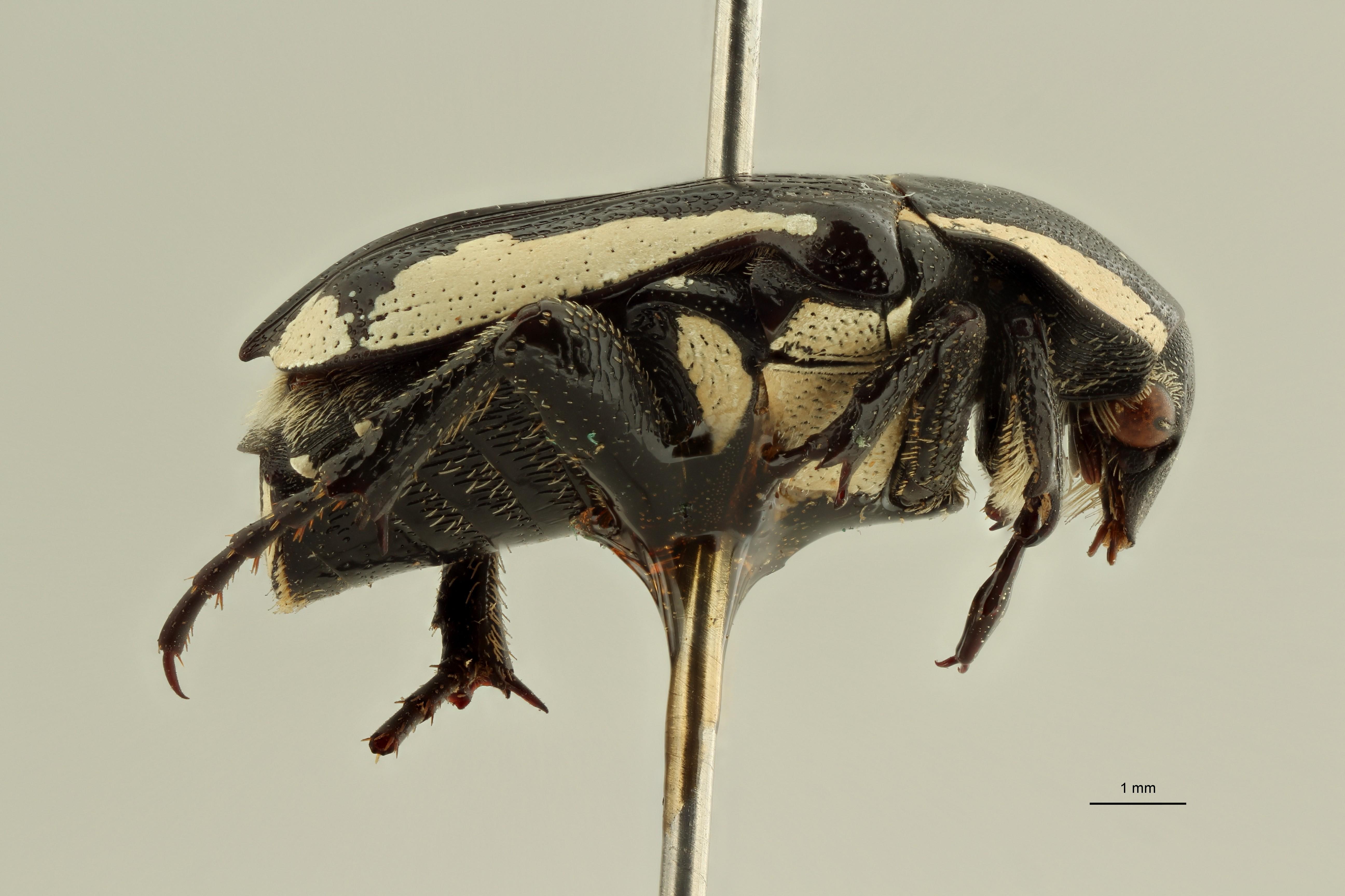 Mausoleopsis albomarginata pt L ZS PMax Scaled.jpeg