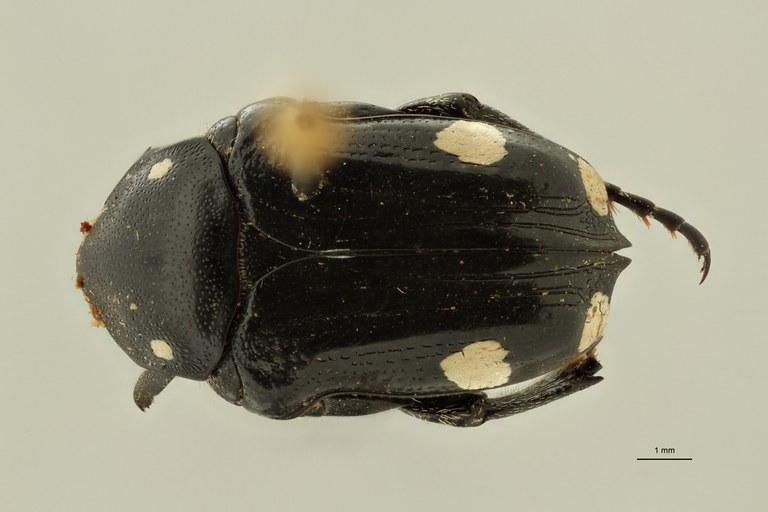 Mausoleopsis revoili pt D ZS PMax Scaled.jpeg
