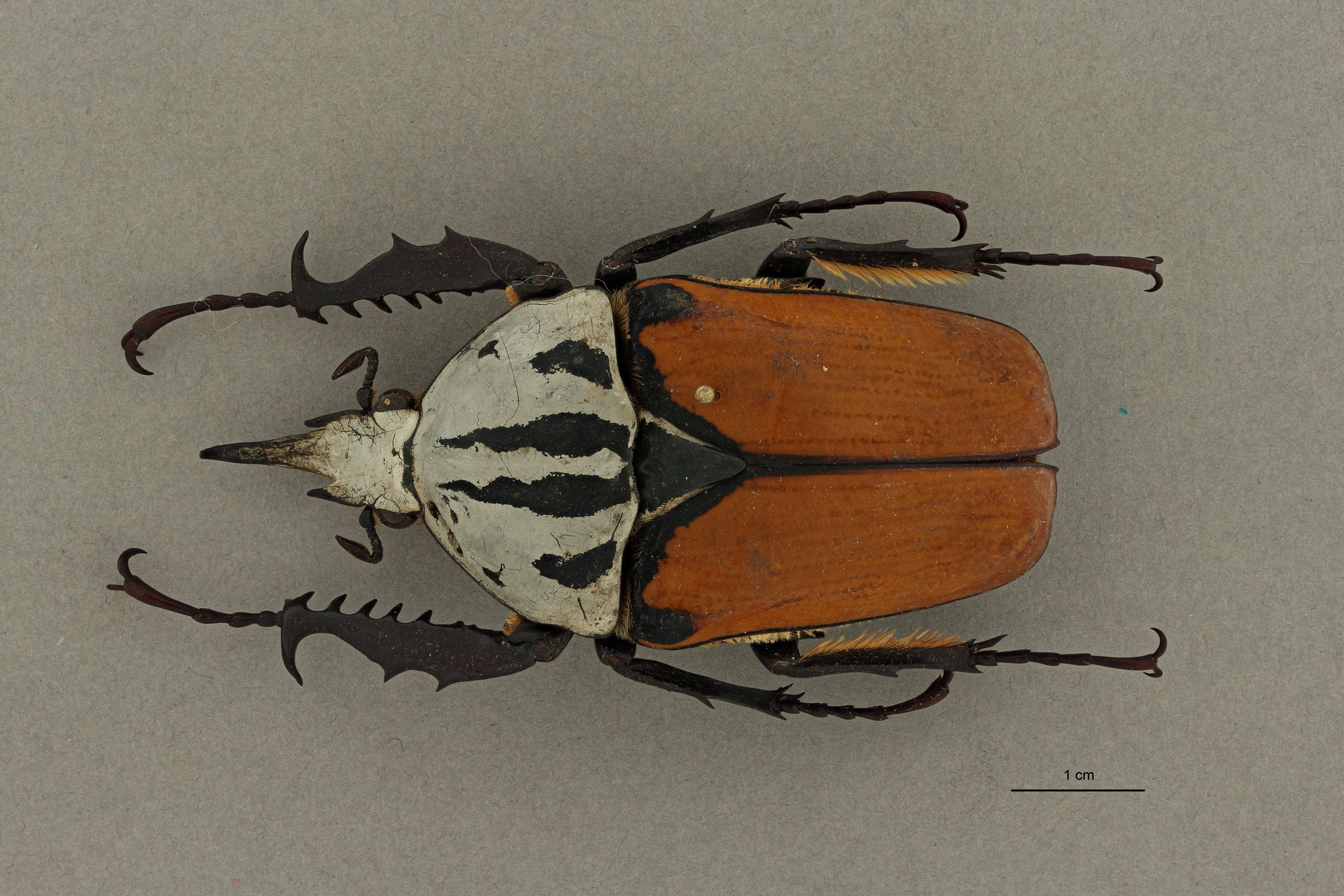 Mecynorrhinella oberthuri kirchneri pt 2 D ZS PMax Scaled.jpeg