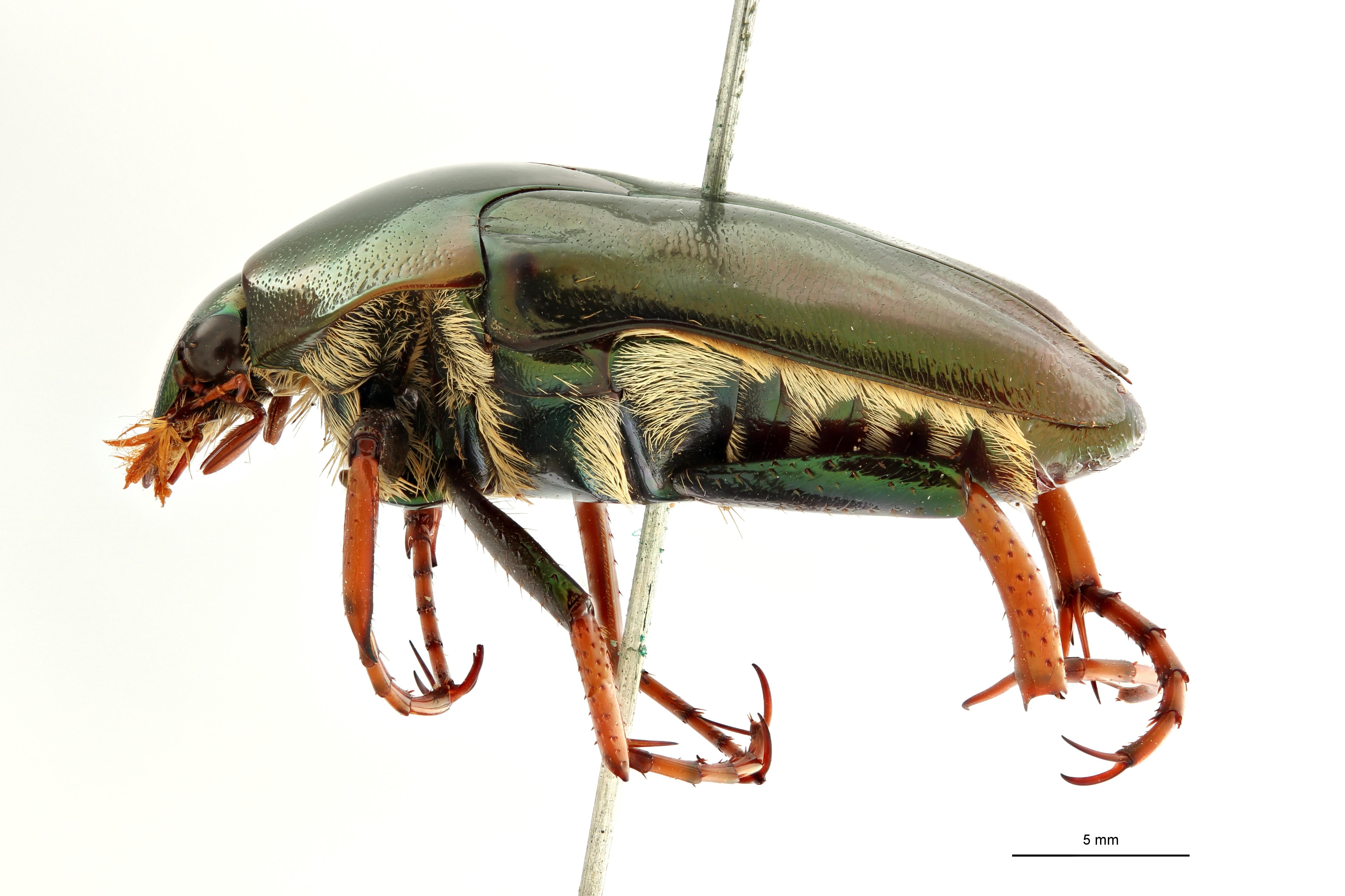 Mycterophallus validipes t L ZS PMax Scaled.jpeg