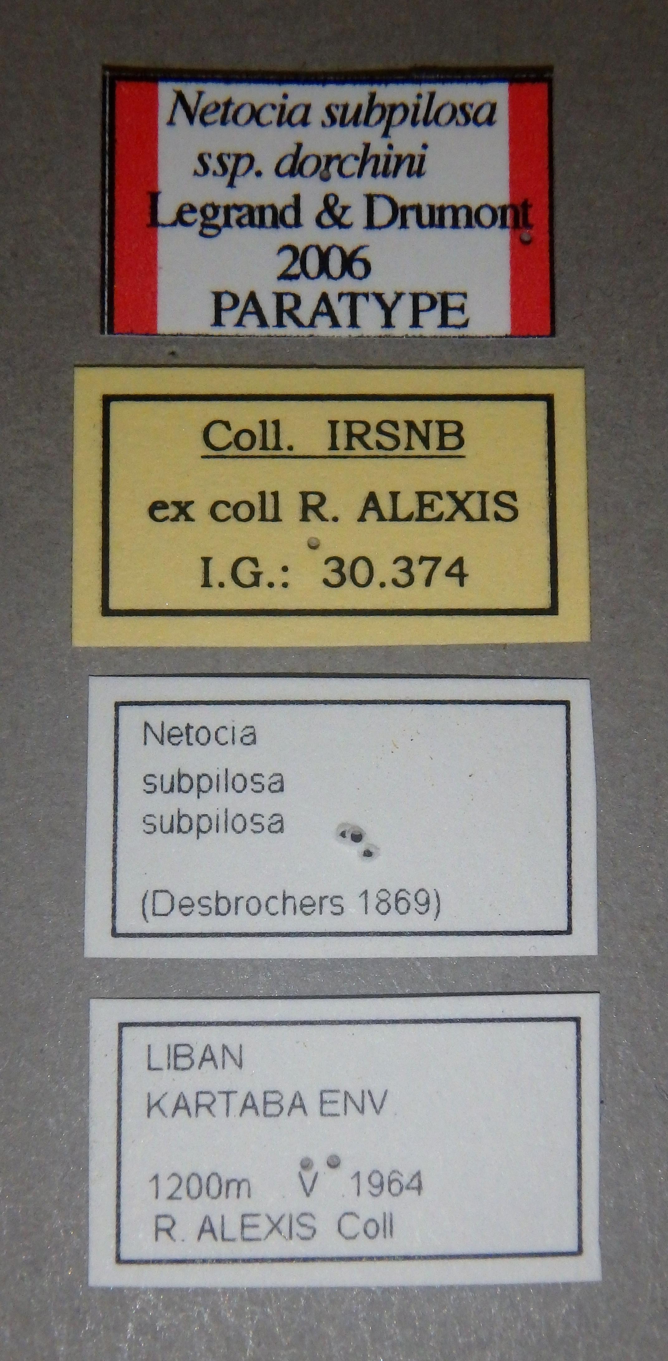 Netocia subpilosa dorchini pt2 Lb.JPG