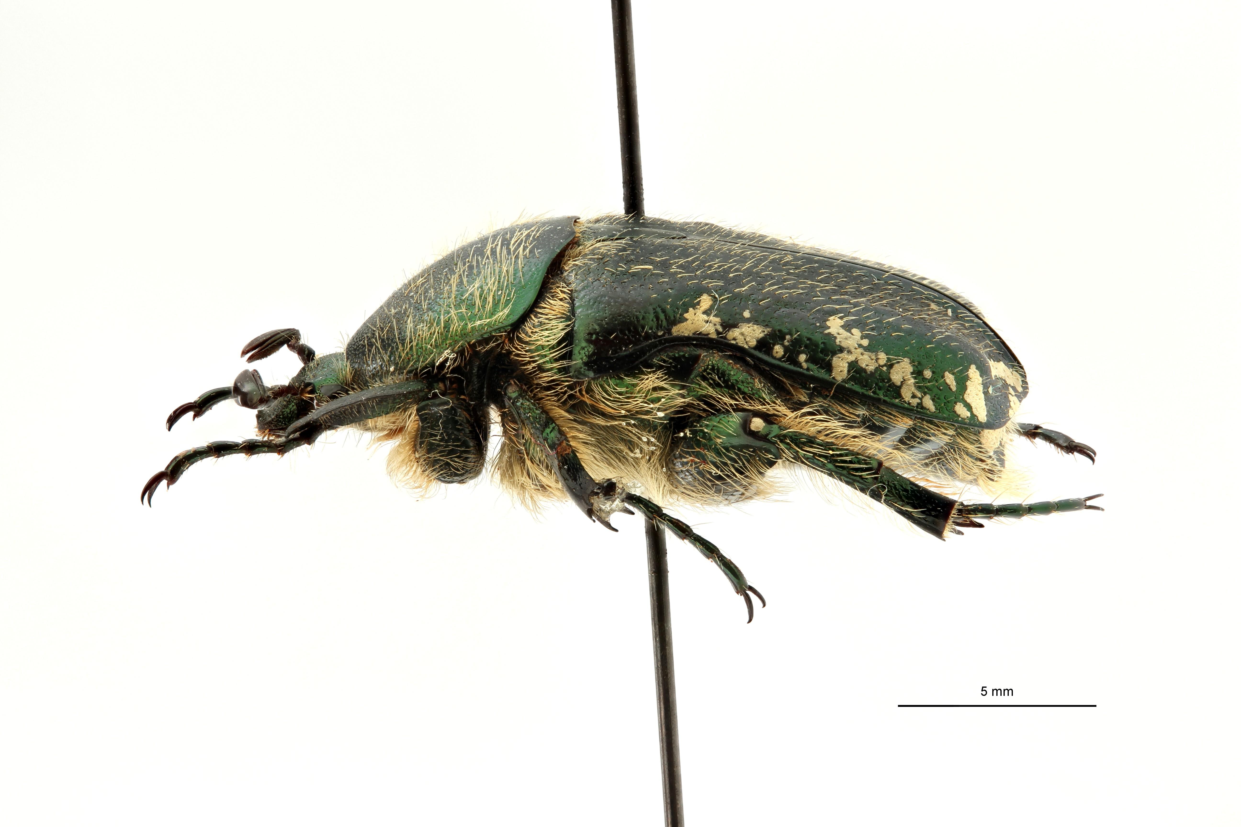 Netocia subpilosa dorchini pt L2 ZS PMax Scaled.jpeg