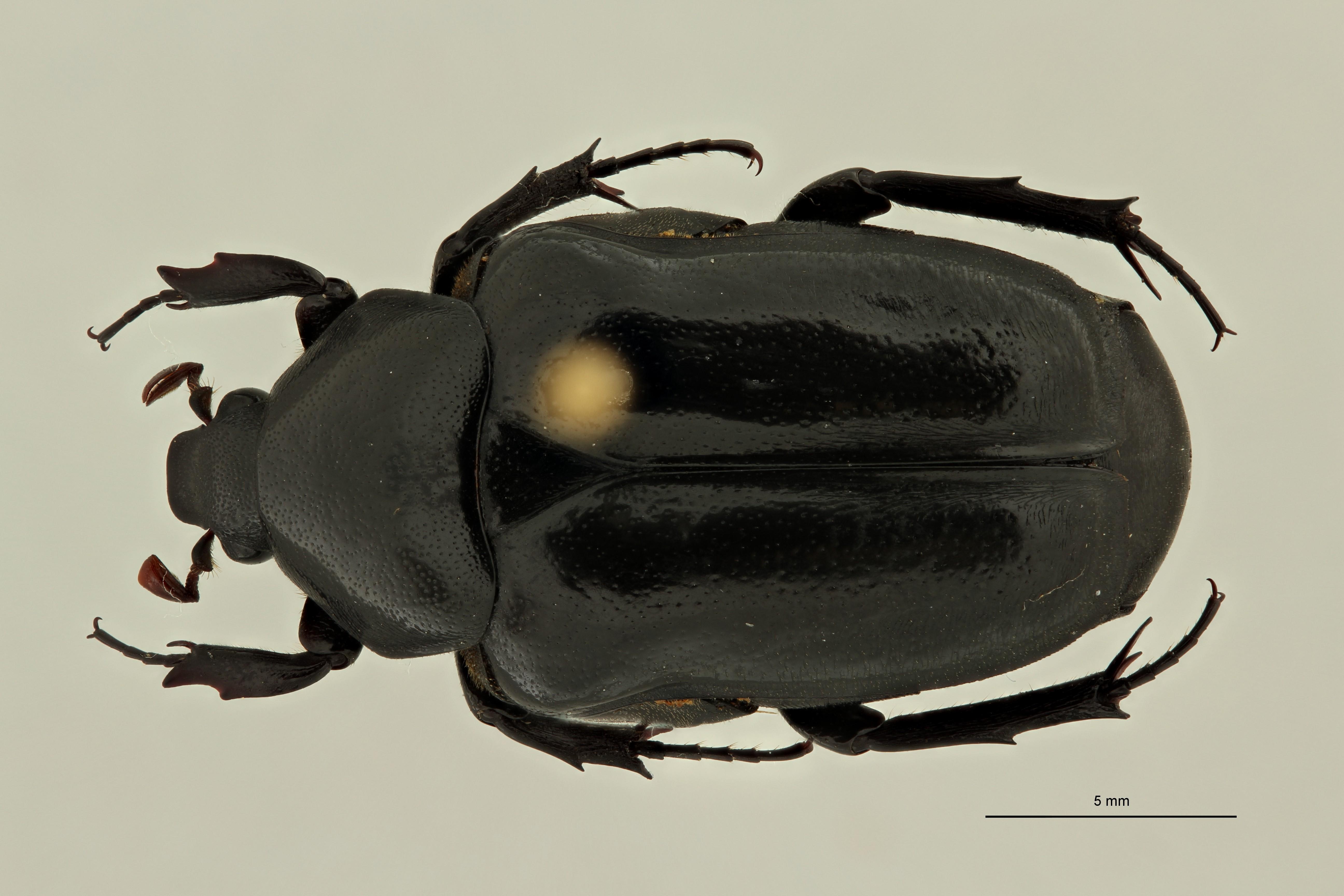 Oplostomus pectoralis morettoi pt2 D ZS PMax Scaled.jpeg