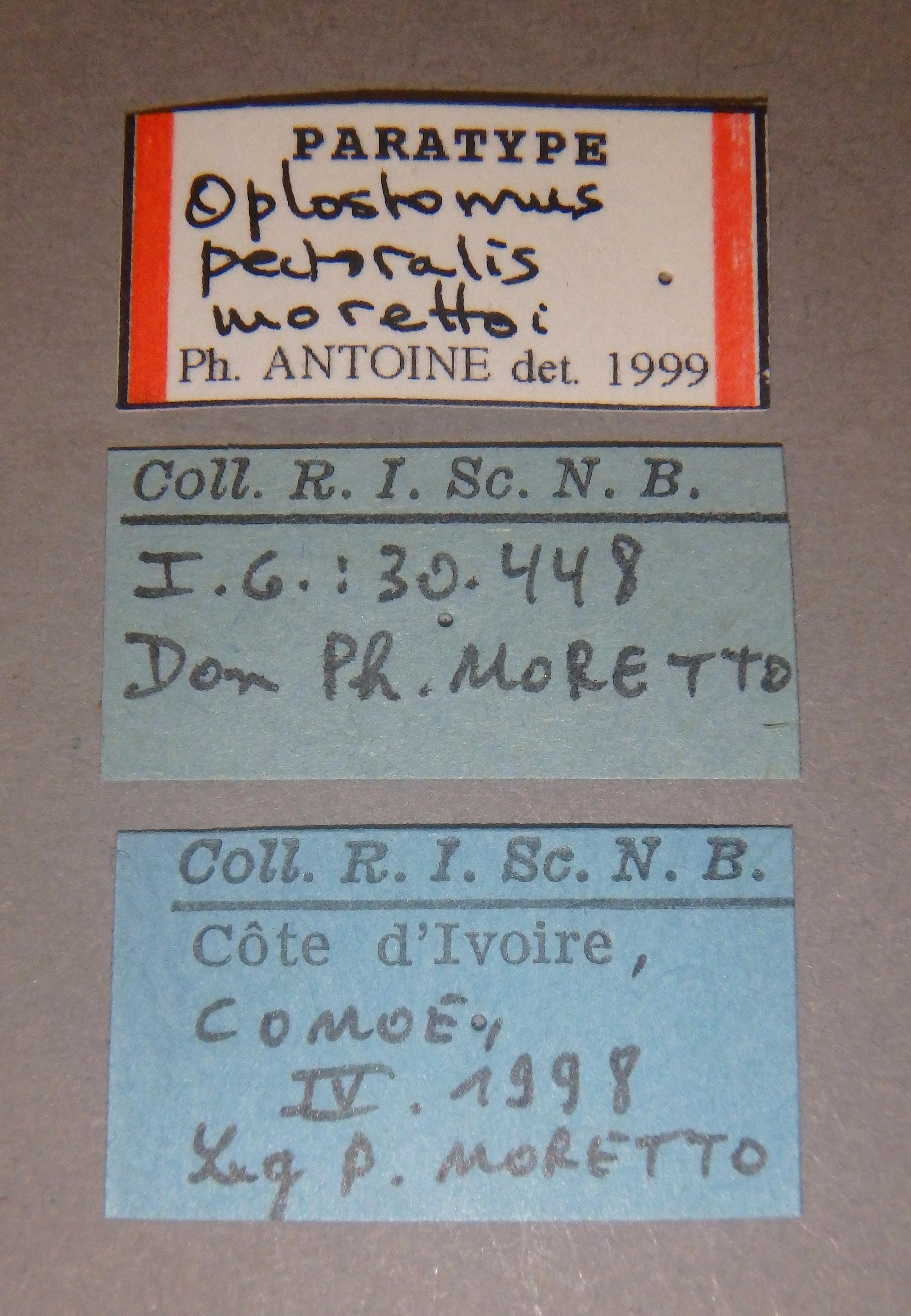 Oplostomus pectoralis morettoi pt1 Lb.JPG
