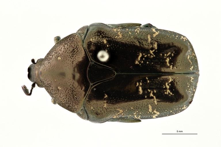 Oreopotodia adelpha ht D ZS PMax Scaled.jpeg