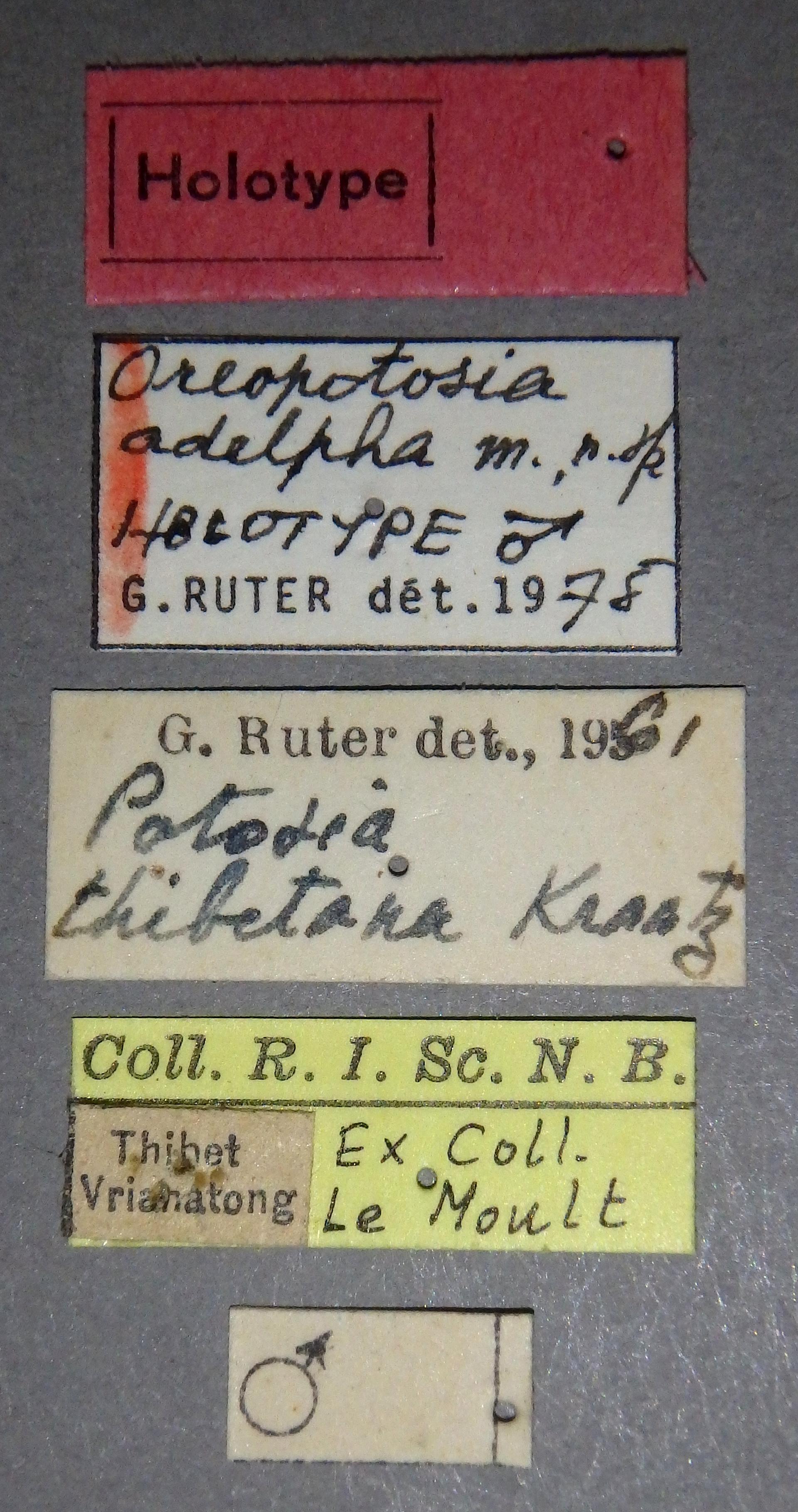 Oreopotosia adelpha ht Lb.JPG