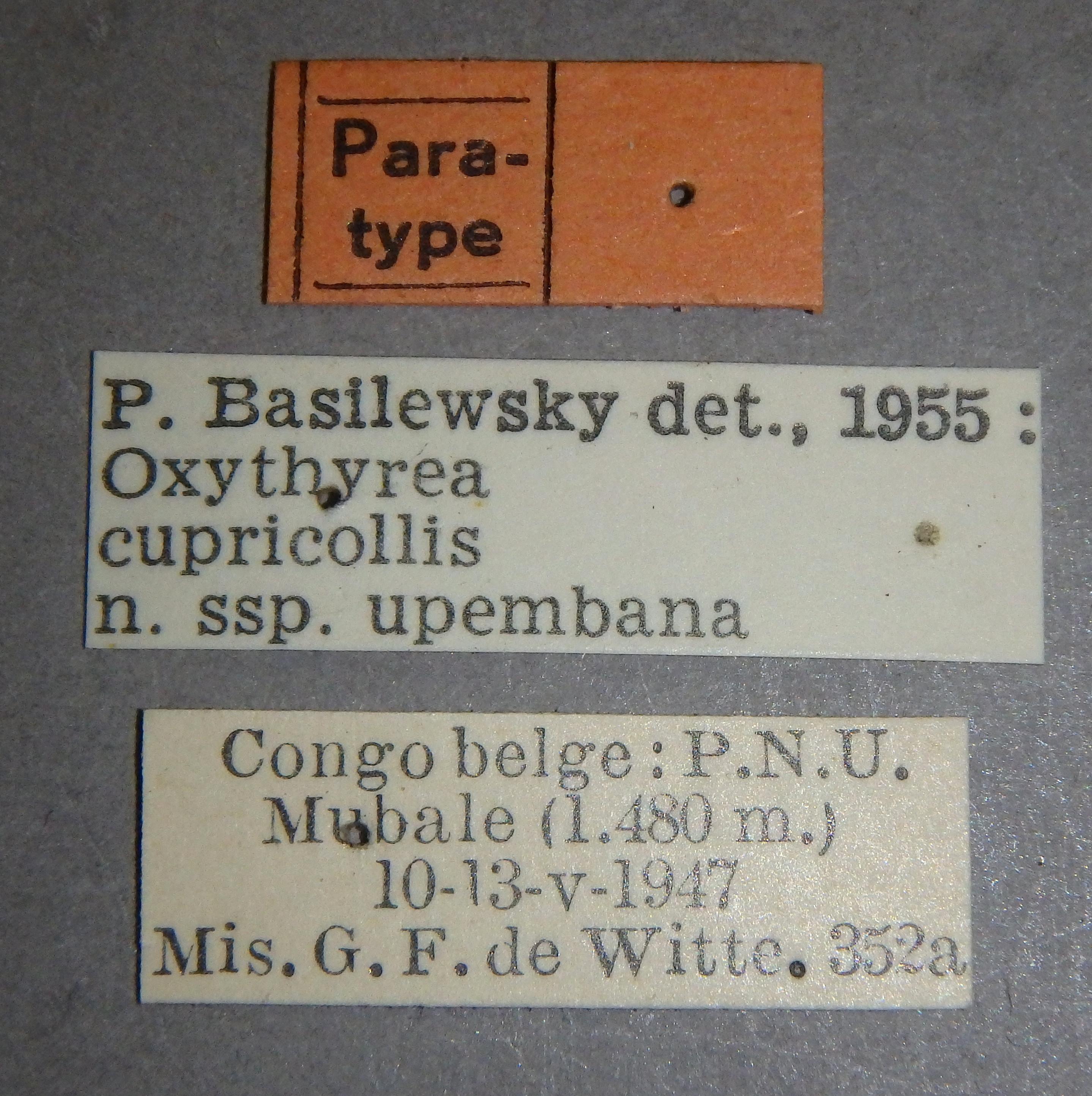 Oxythyrea cupricollis upembana pt1 Lb.JPG