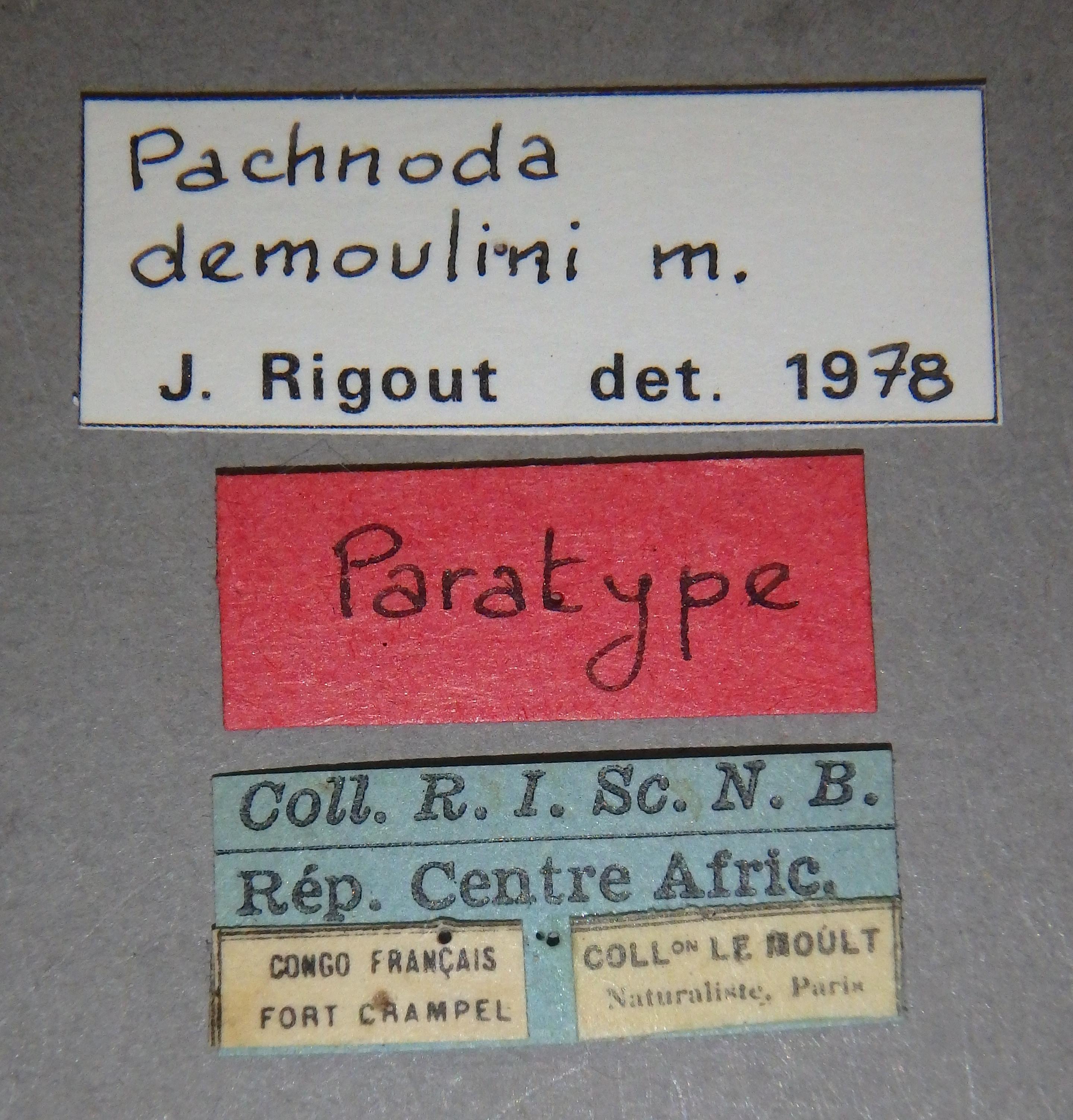 Pachnoda demoulini pt2 Lb.JPG