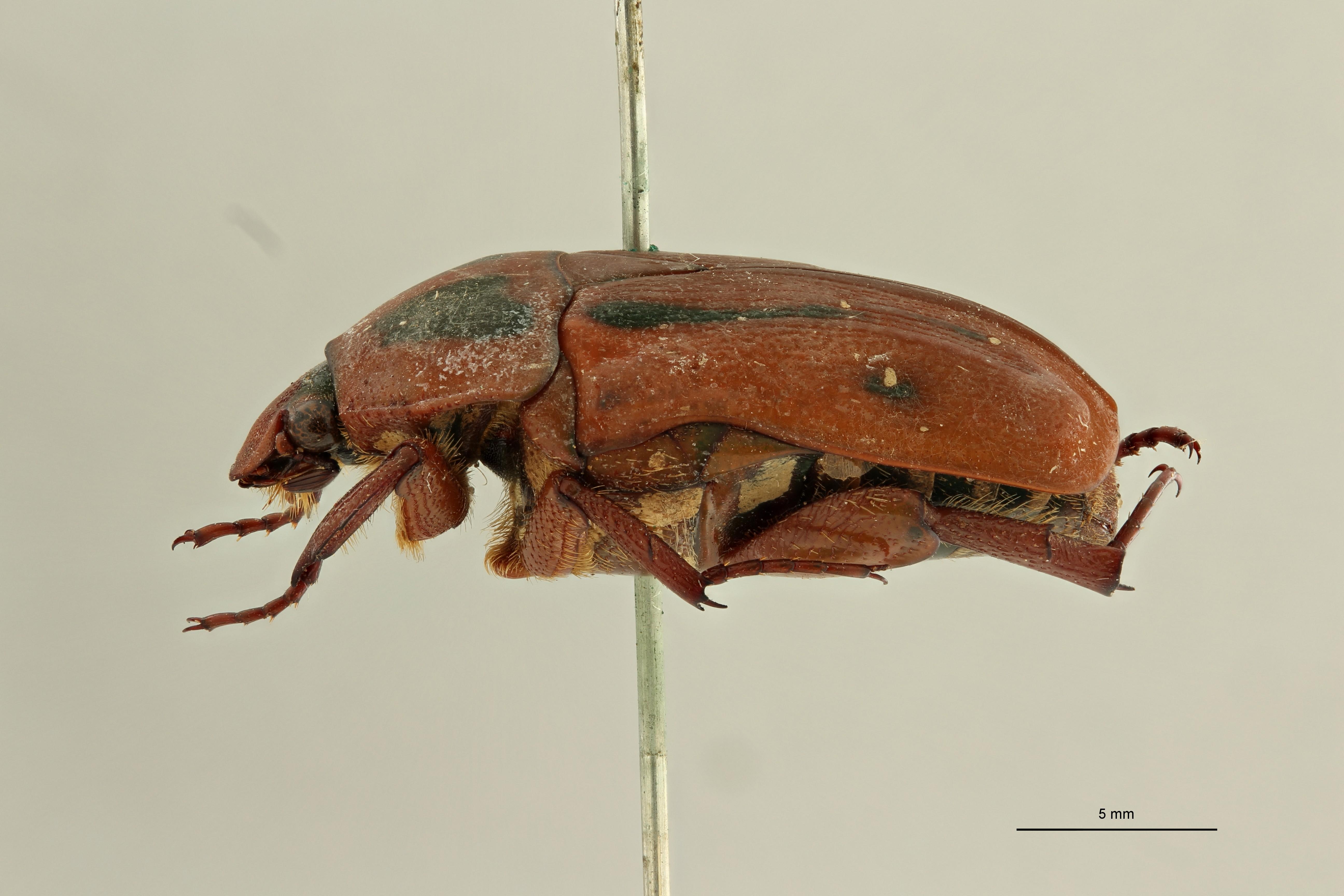 Pachnoda dimidiaticollis undatofasciata pt2 L ZS PMax Scaled.jpeg