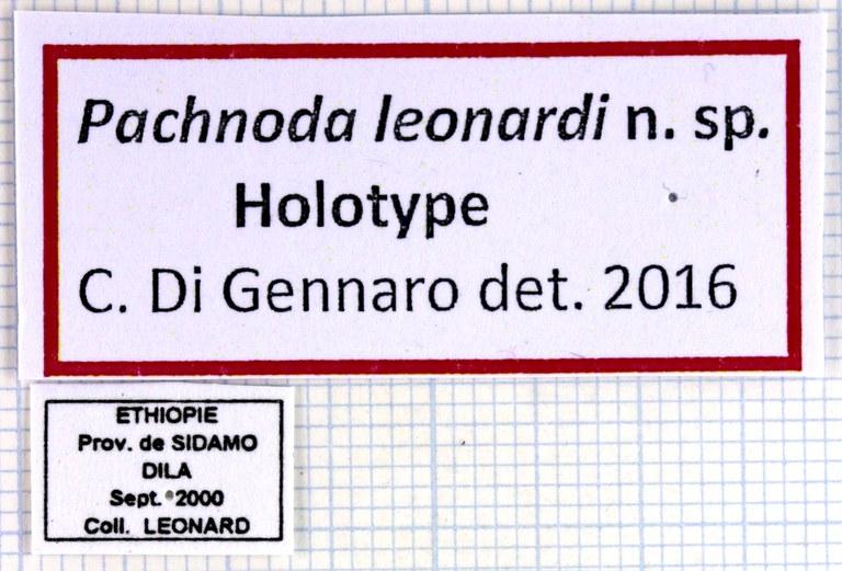 Pachnoda leonardi HT 49698.jpg