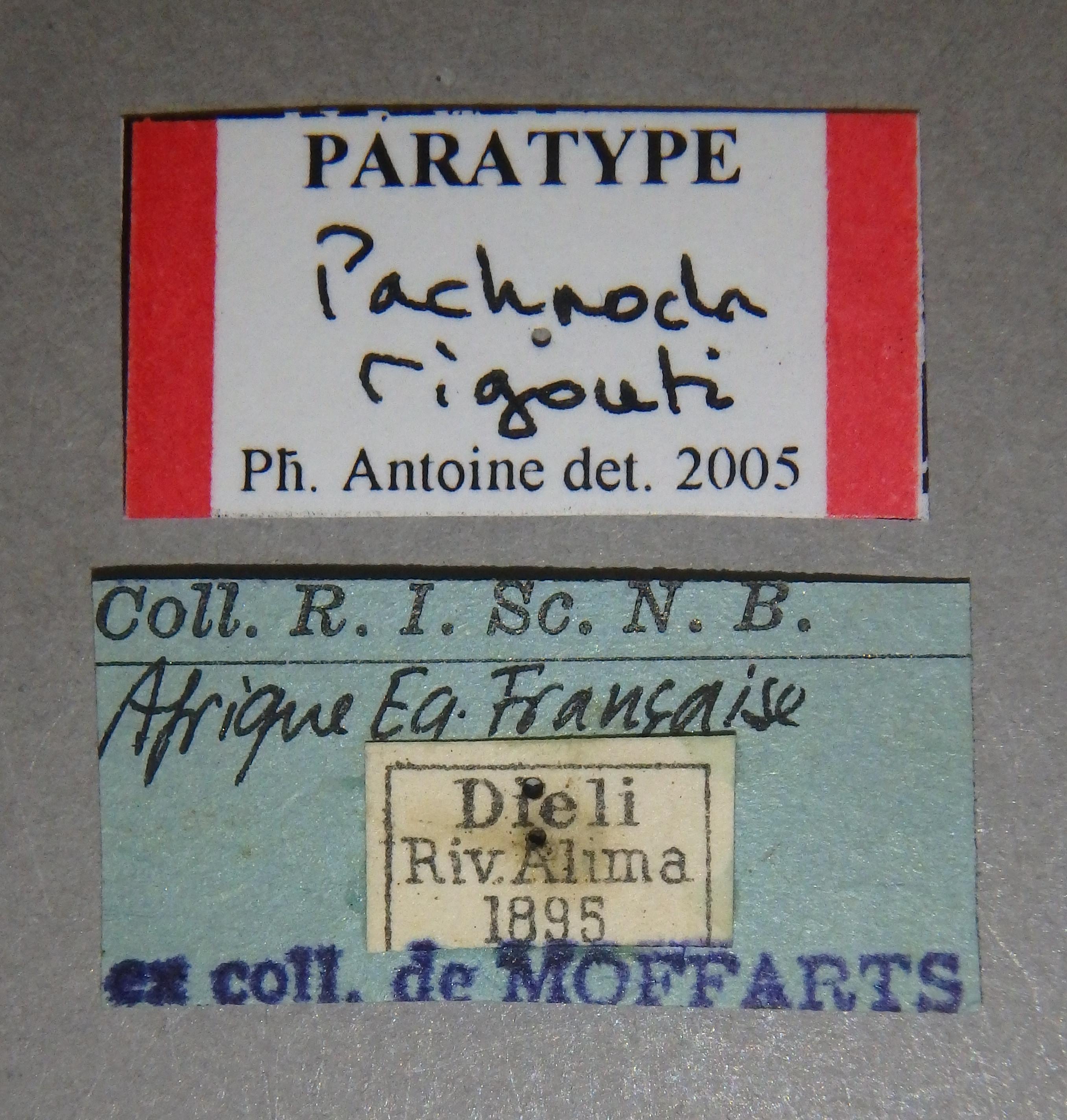 Pachnoda rigouti pt2 Lb.JPG