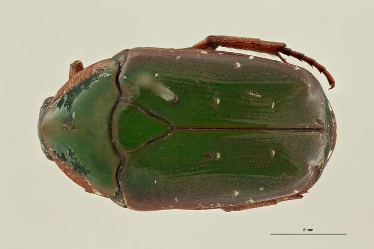 Pachnoda rubriventris rubrocinctoides pt D ZS PMax Scaled.jpeg