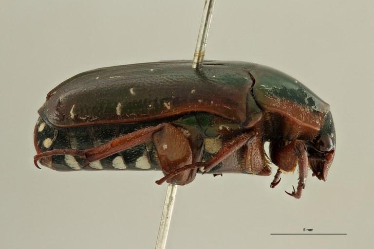 Pachnoda rubriventris rubrocinctoides pt L ZS PMax Scaled.jpeg
