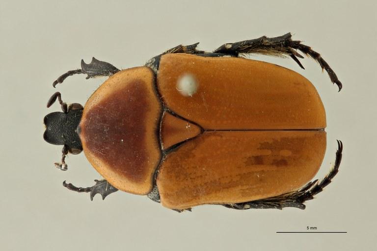 Pachnodoides murphyi ht D ZS PMax Scaled.jpeg