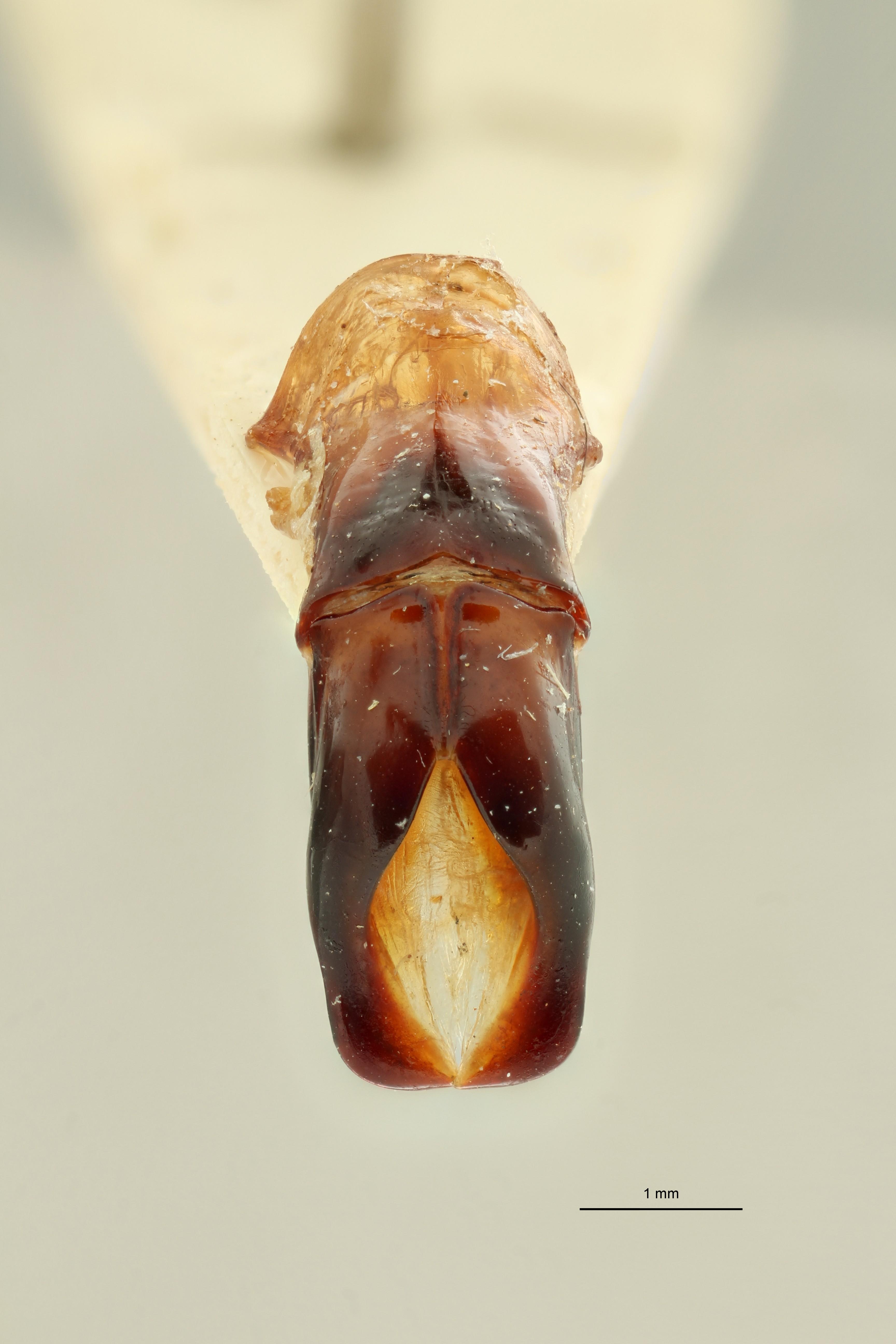 Pachnodoides murphyi ht DGe ZS PMax Scaled.jpeg
