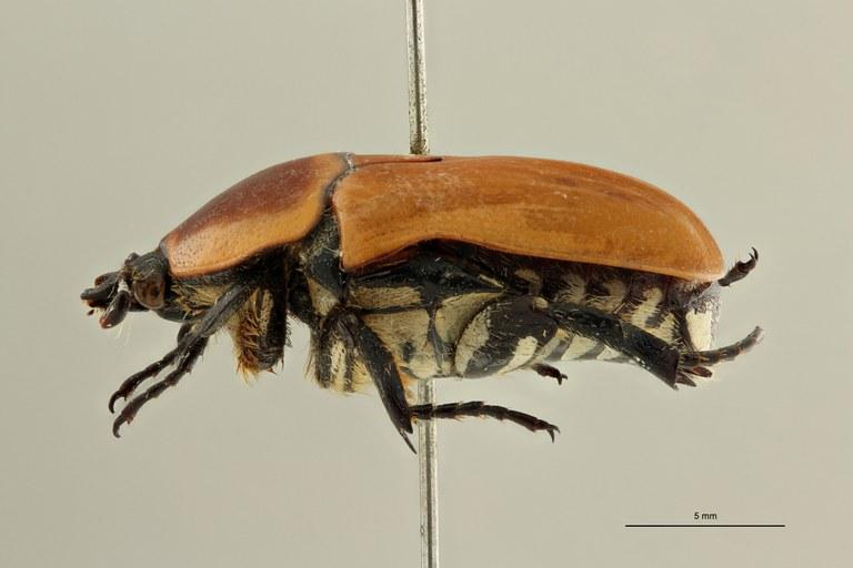 Pachnodoides murphyi ht L ZS PMax Scaled.jpeg