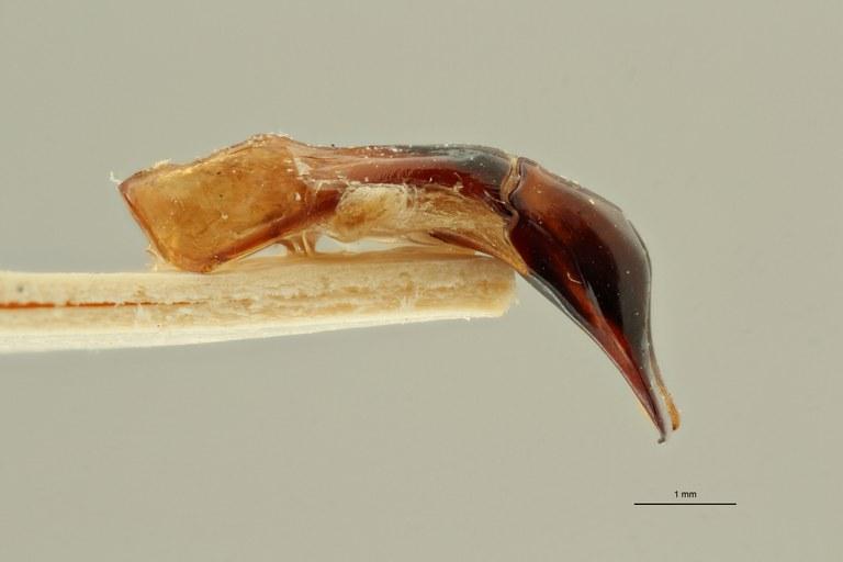 Pachnodoides murphyi ht LGe ZS PMax Scaled.jpeg